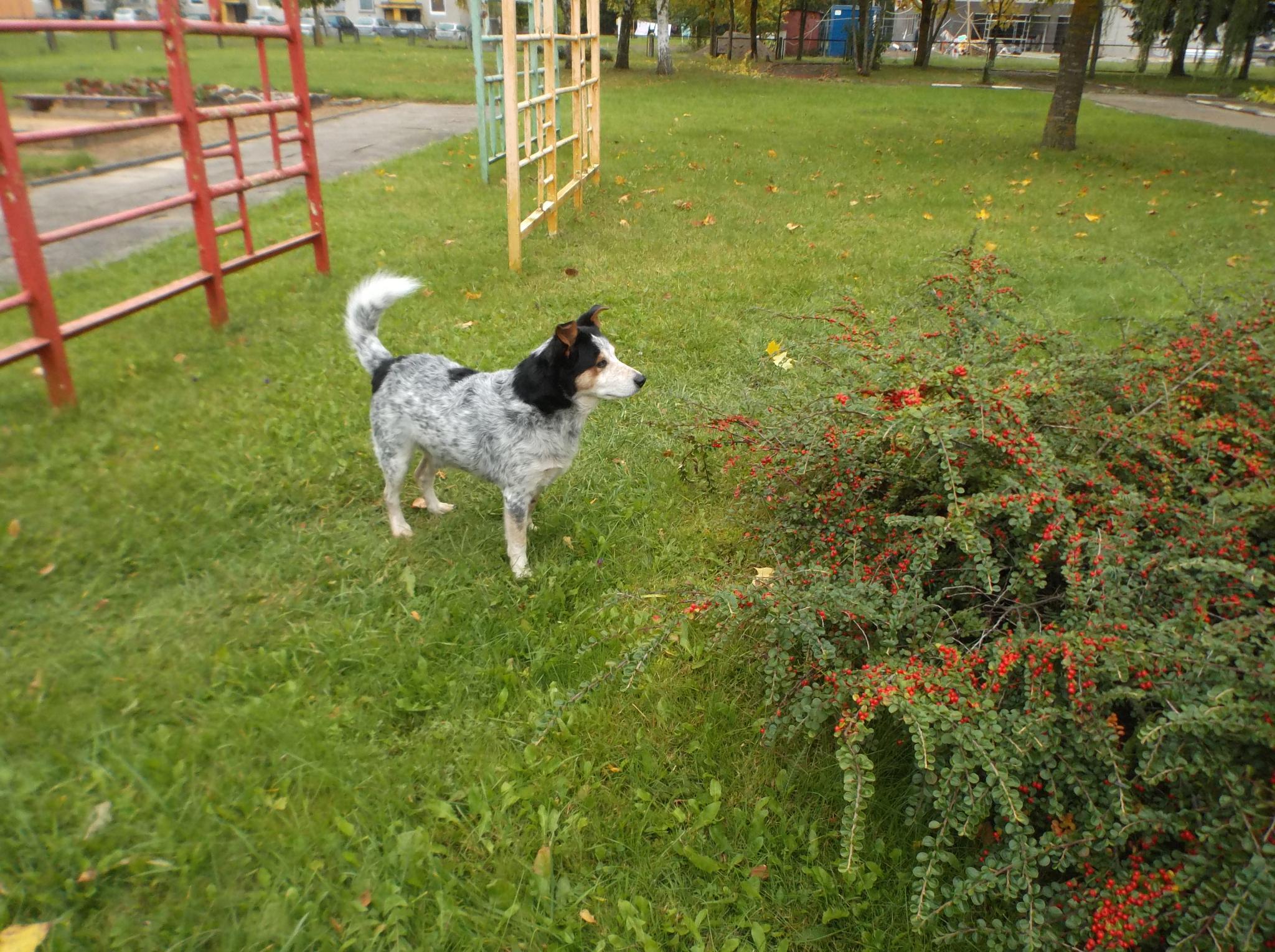 Dog Max. by Zita Užkuraitienė