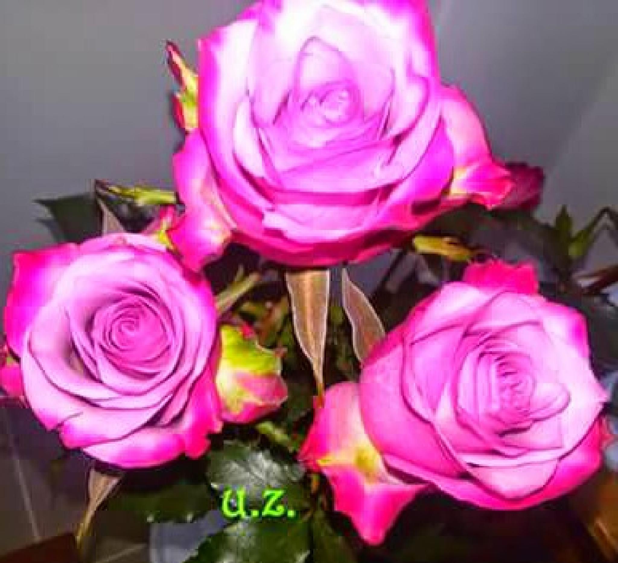 Pink roses by Zita Užkuraitienė