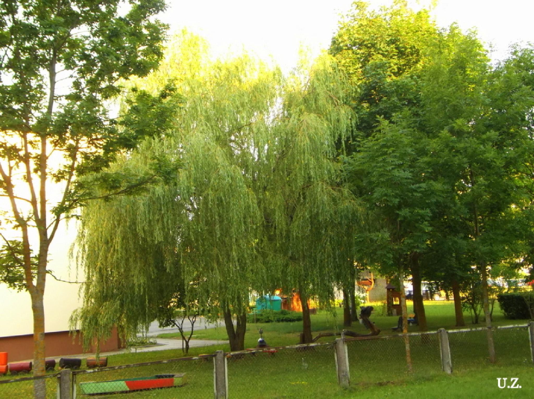 Trees by Zita Užkuraitienė