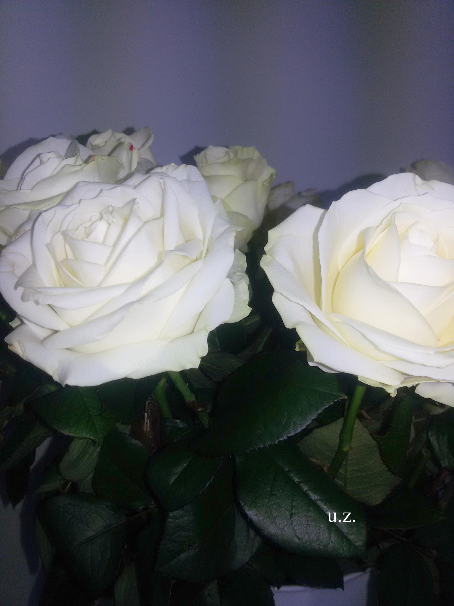 White roses by Zita Užkuraitienė