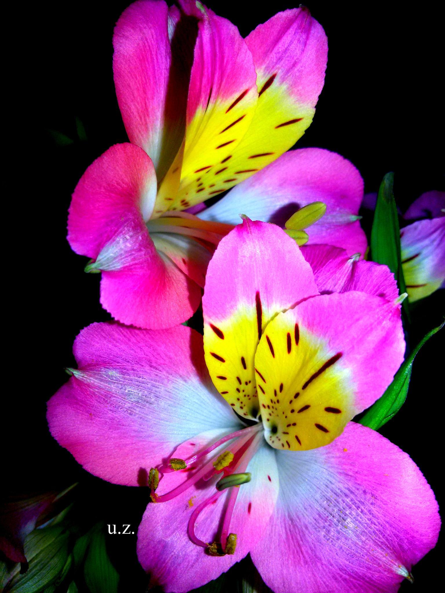 Flowers by Zita Užkuraitienė