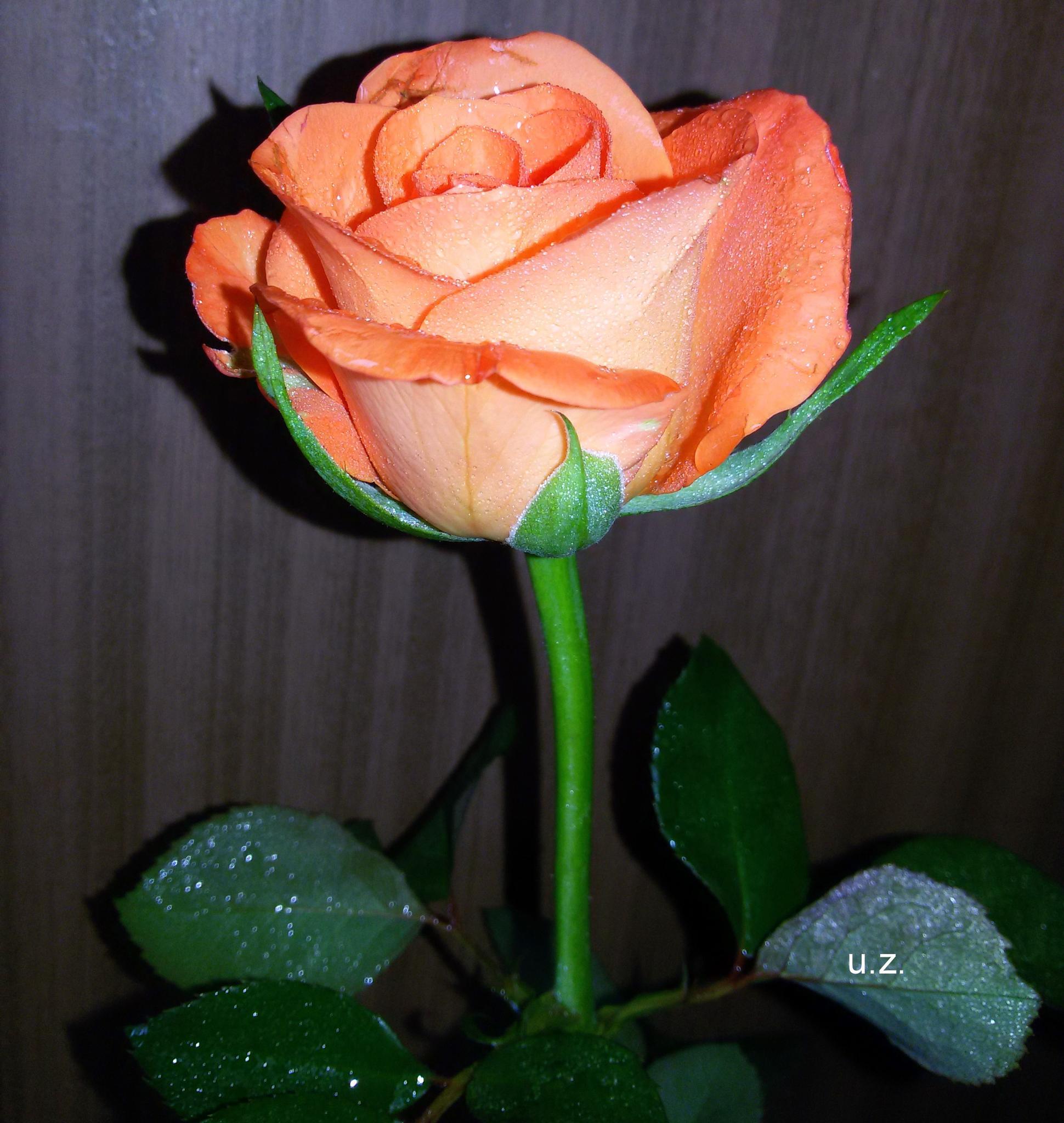 Pink rose. by Zita Užkuraitienė
