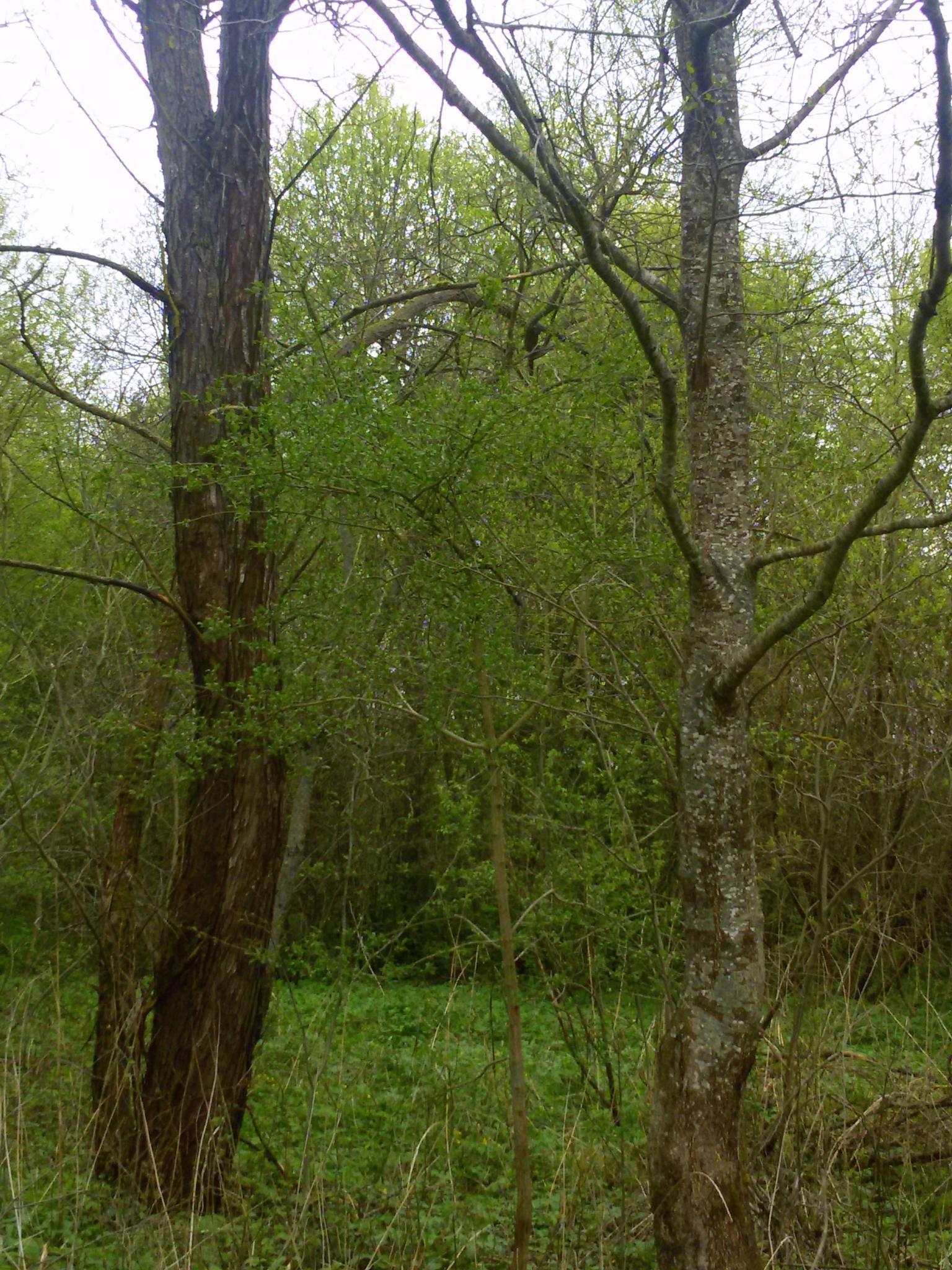 Two trees by Zita Užkuraitienė