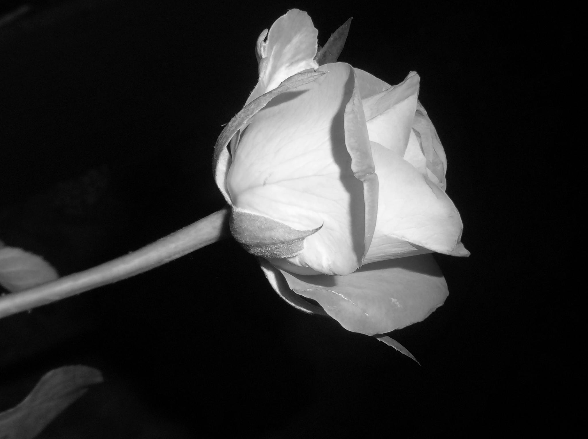 Rose by Zita Užkuraitienė