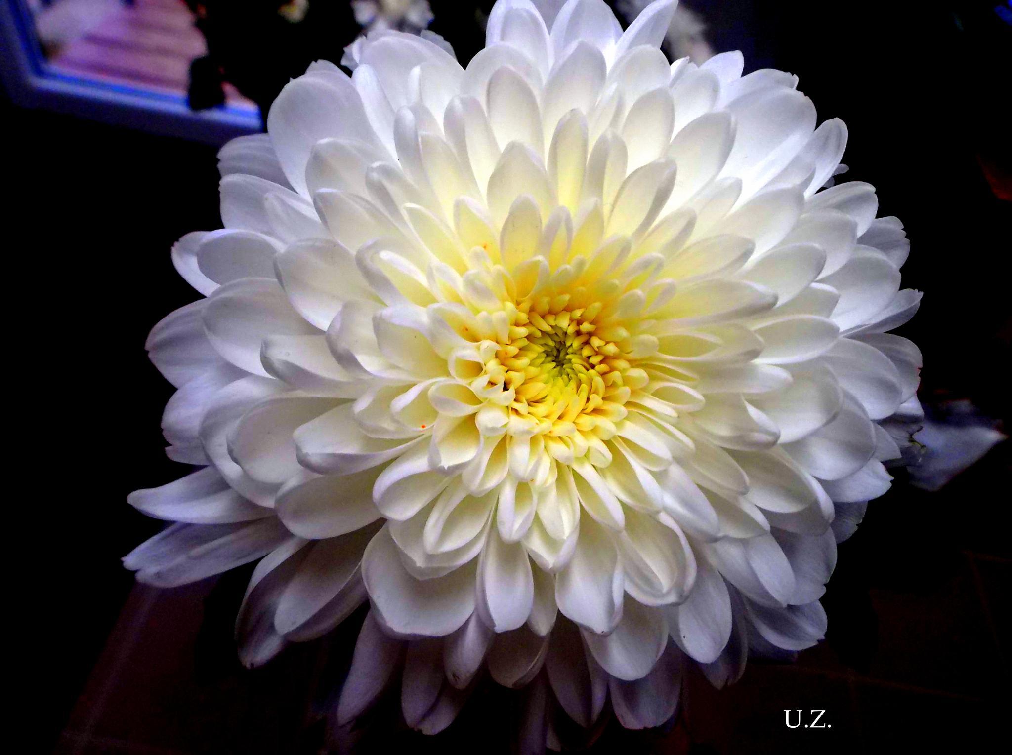 Chrysanthemum by Zita Užkuraitienė