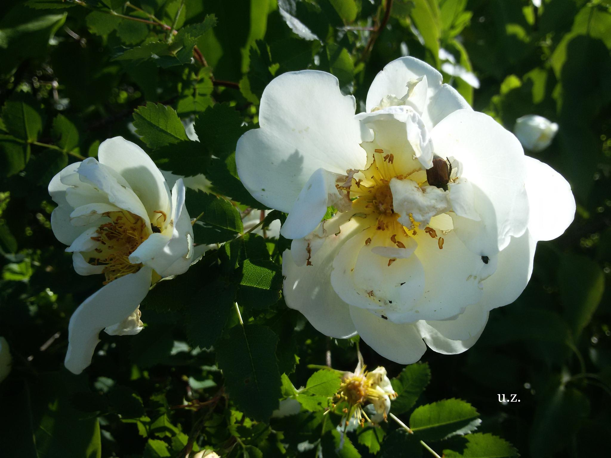 White flowers by Zita Užkuraitienė