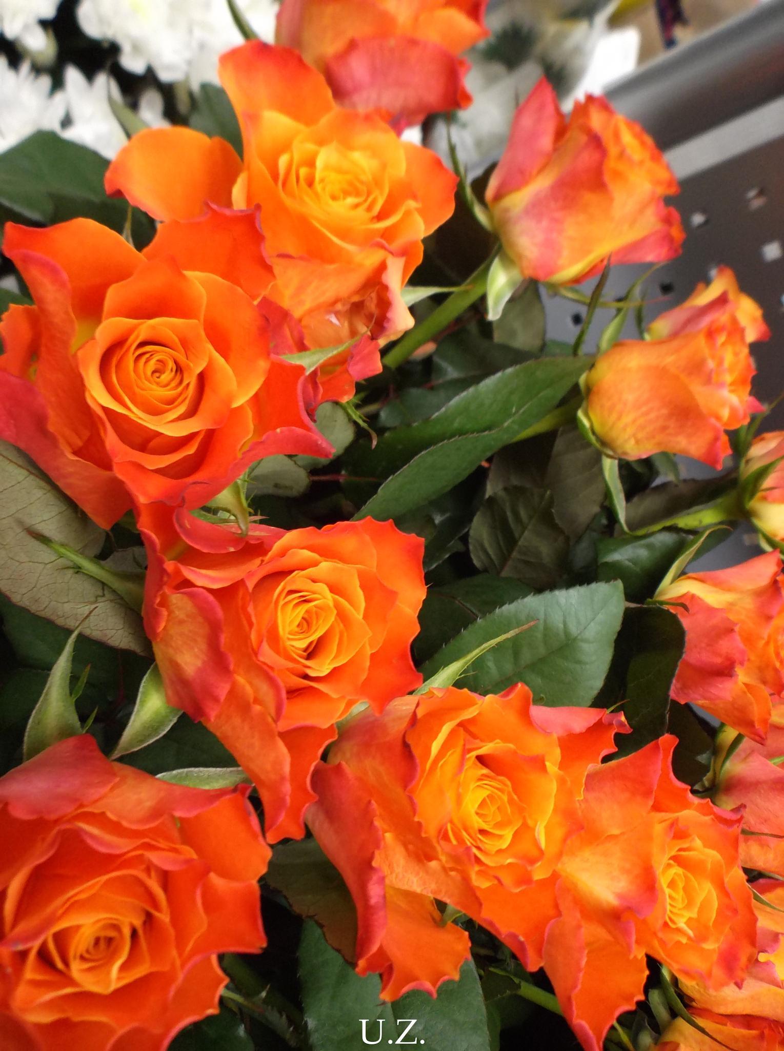 Roses by Zita Užkuraitienė