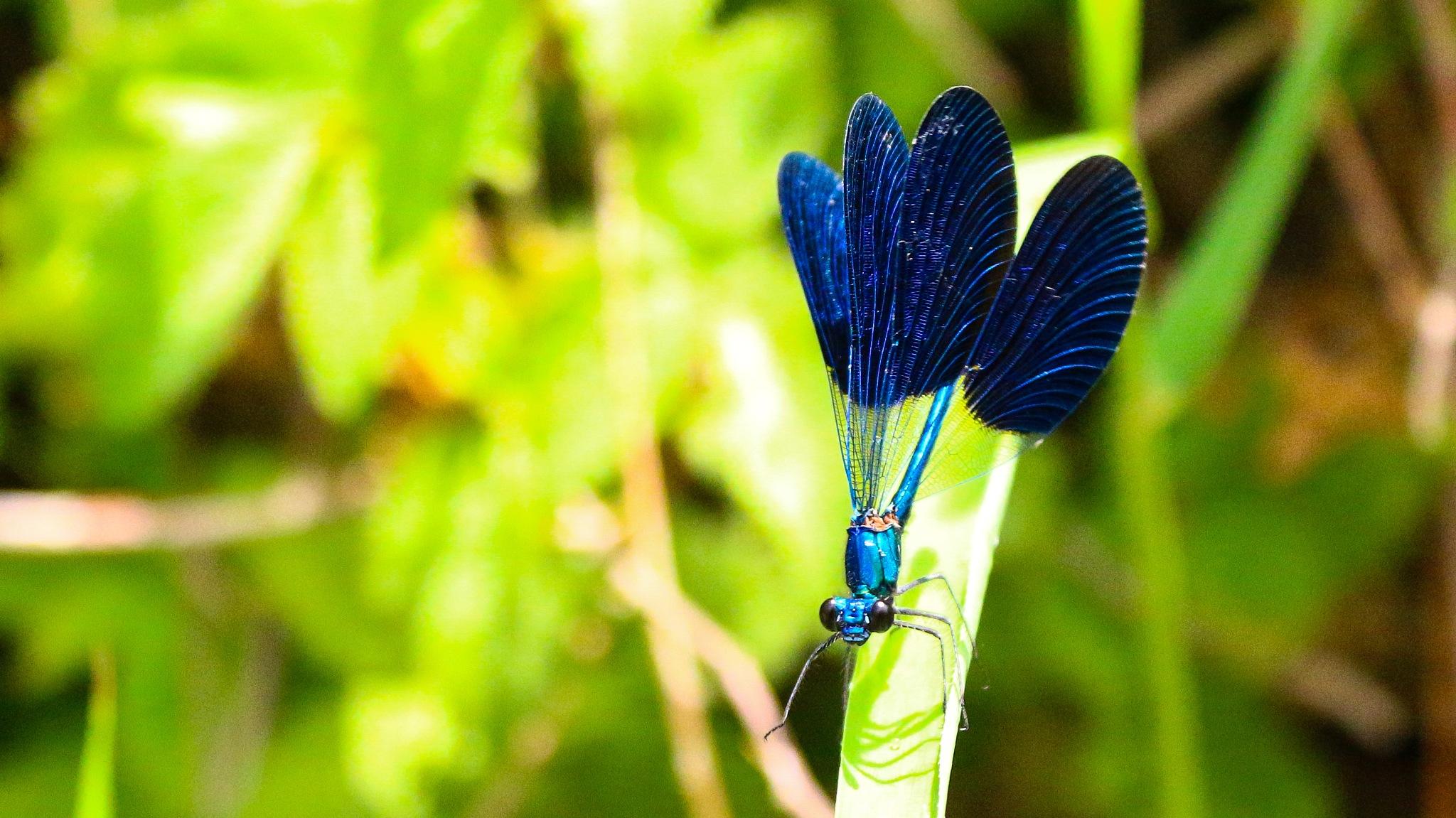 dragonfly by ahmad