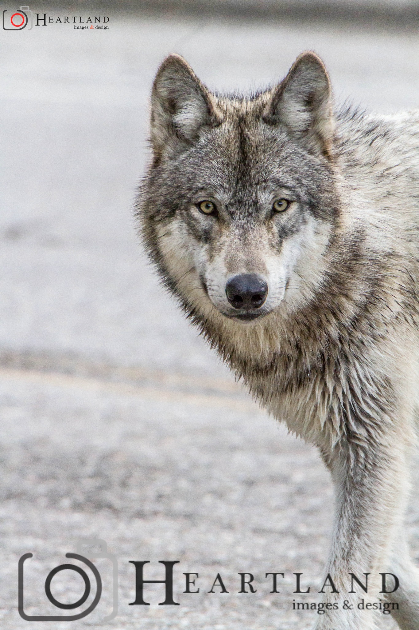 Grey Wolf by Heartland Images & Design