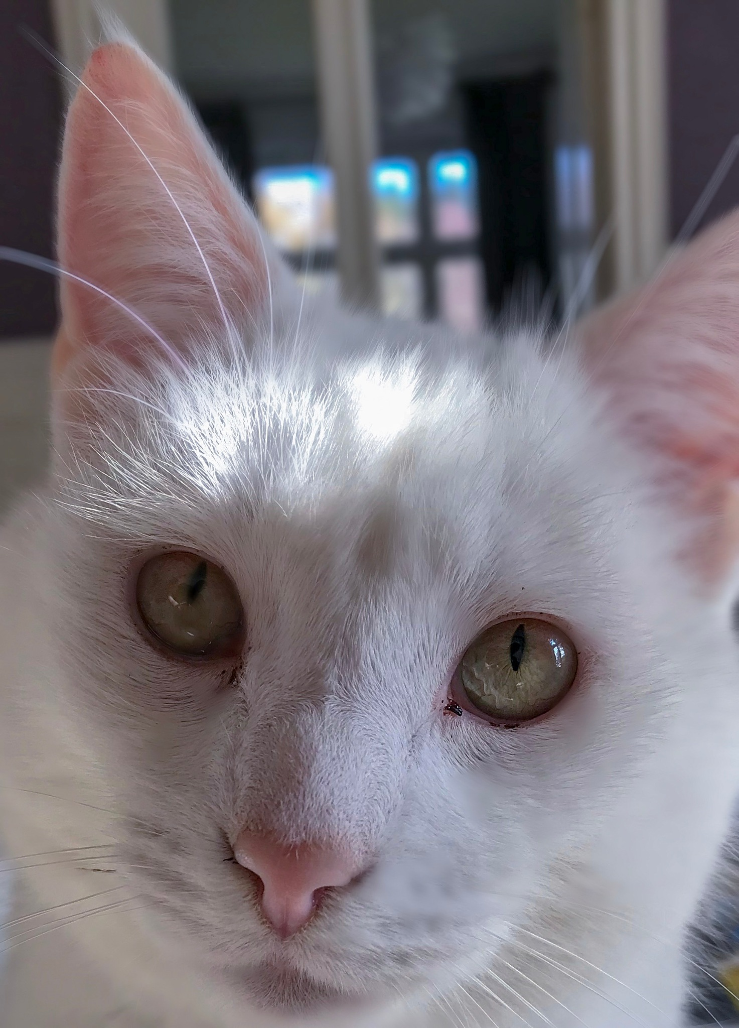 Photo in Random #cat #cateyes #pets #whitecat