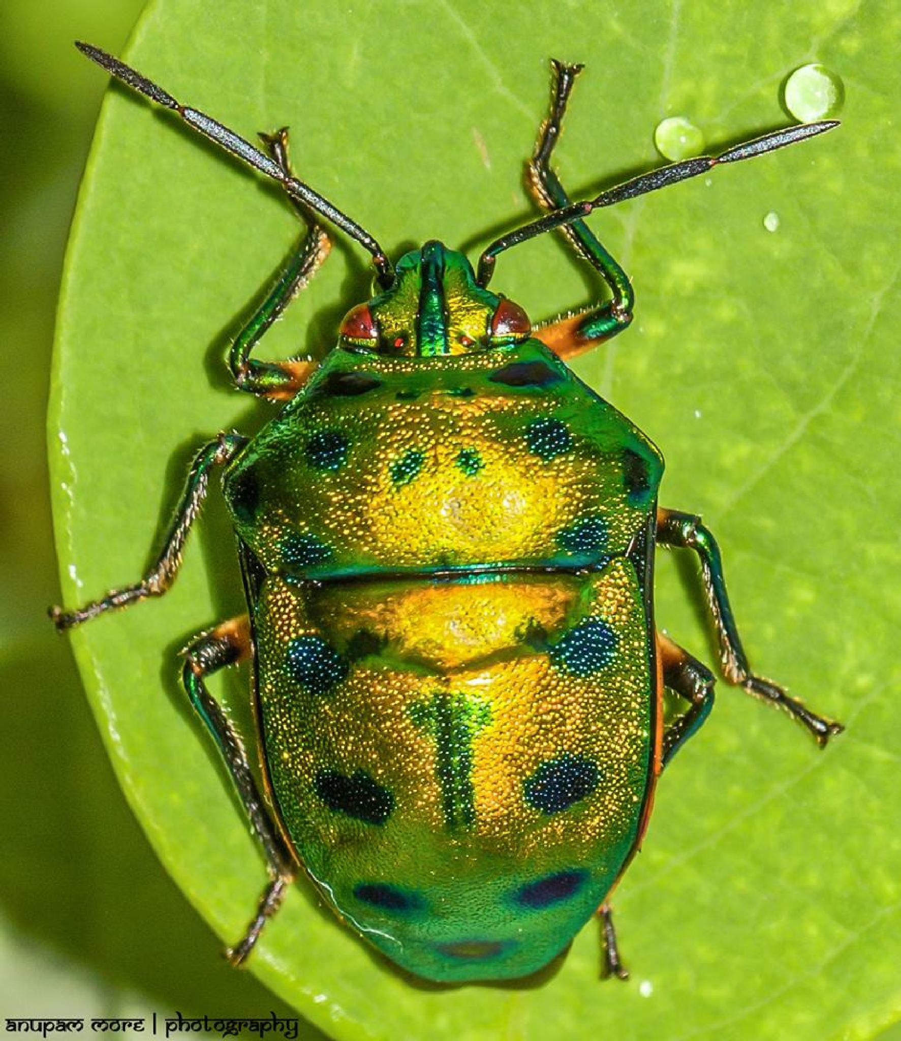 Jewel bugs (Scutelleridae) by Anupam More