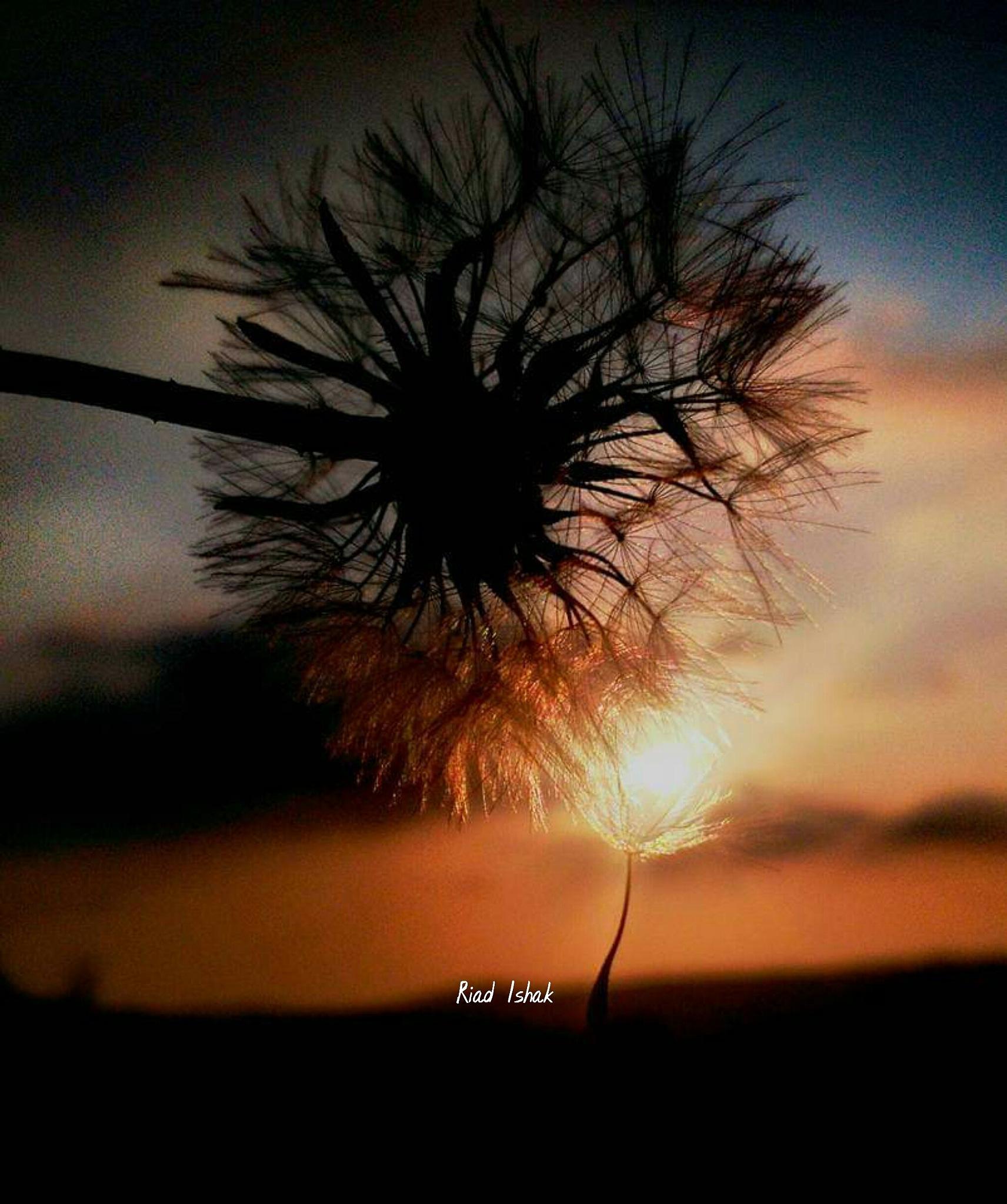 #Dandelion_vs_☀ by Riad Ishak