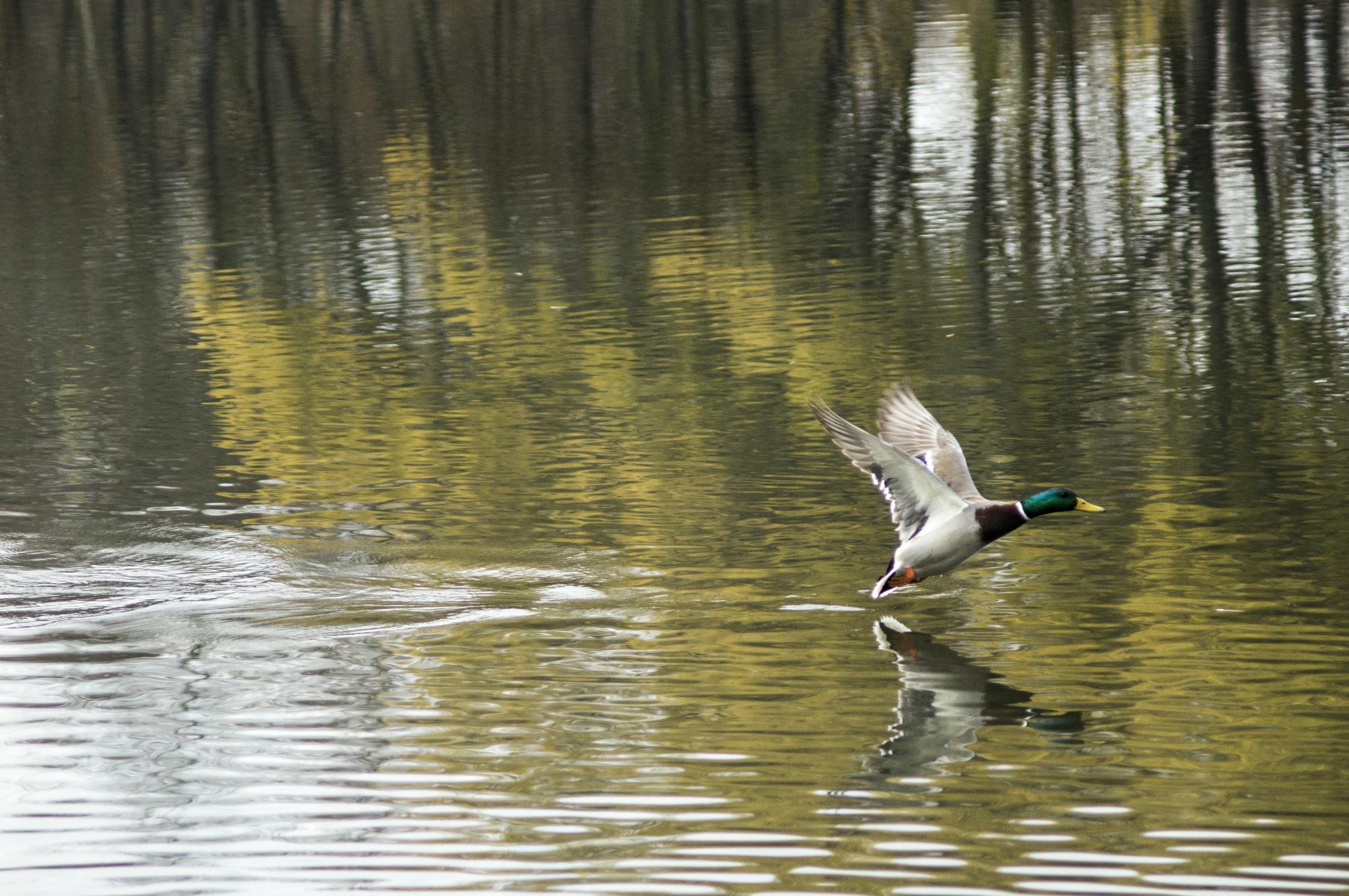 Duck by veinert.zs