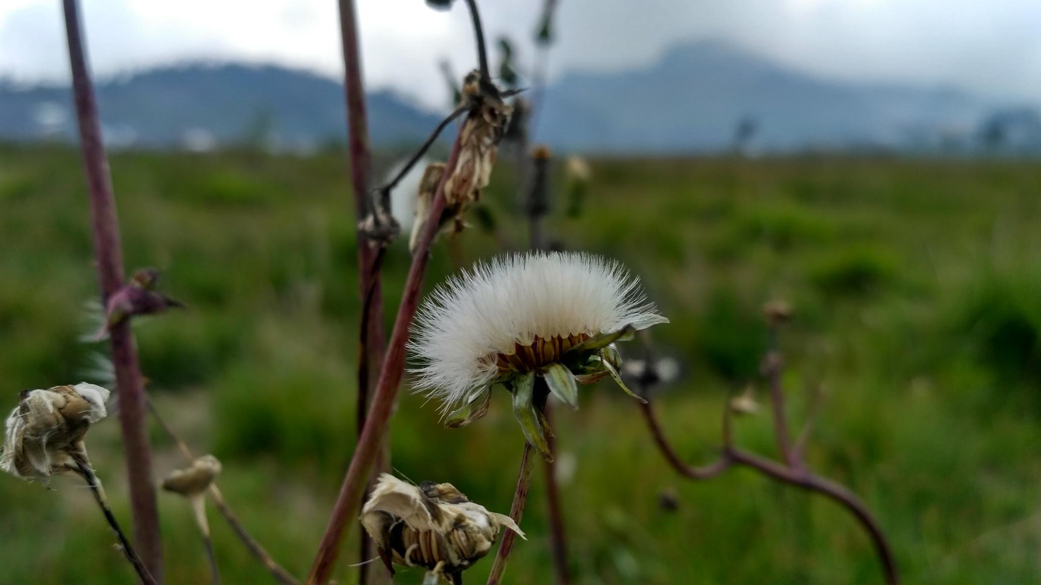 Sonchus Flower by Noviyanti Ria
