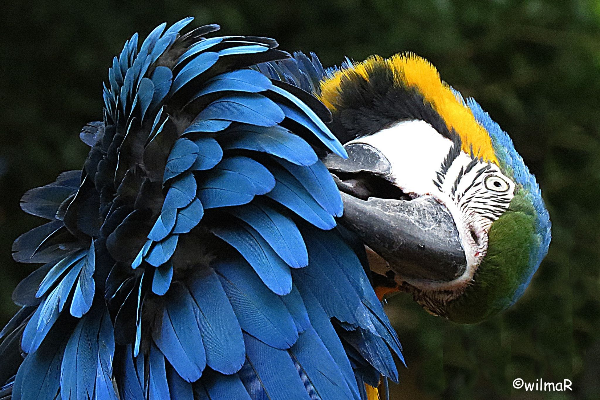 macaw by Wilma Roelofsen