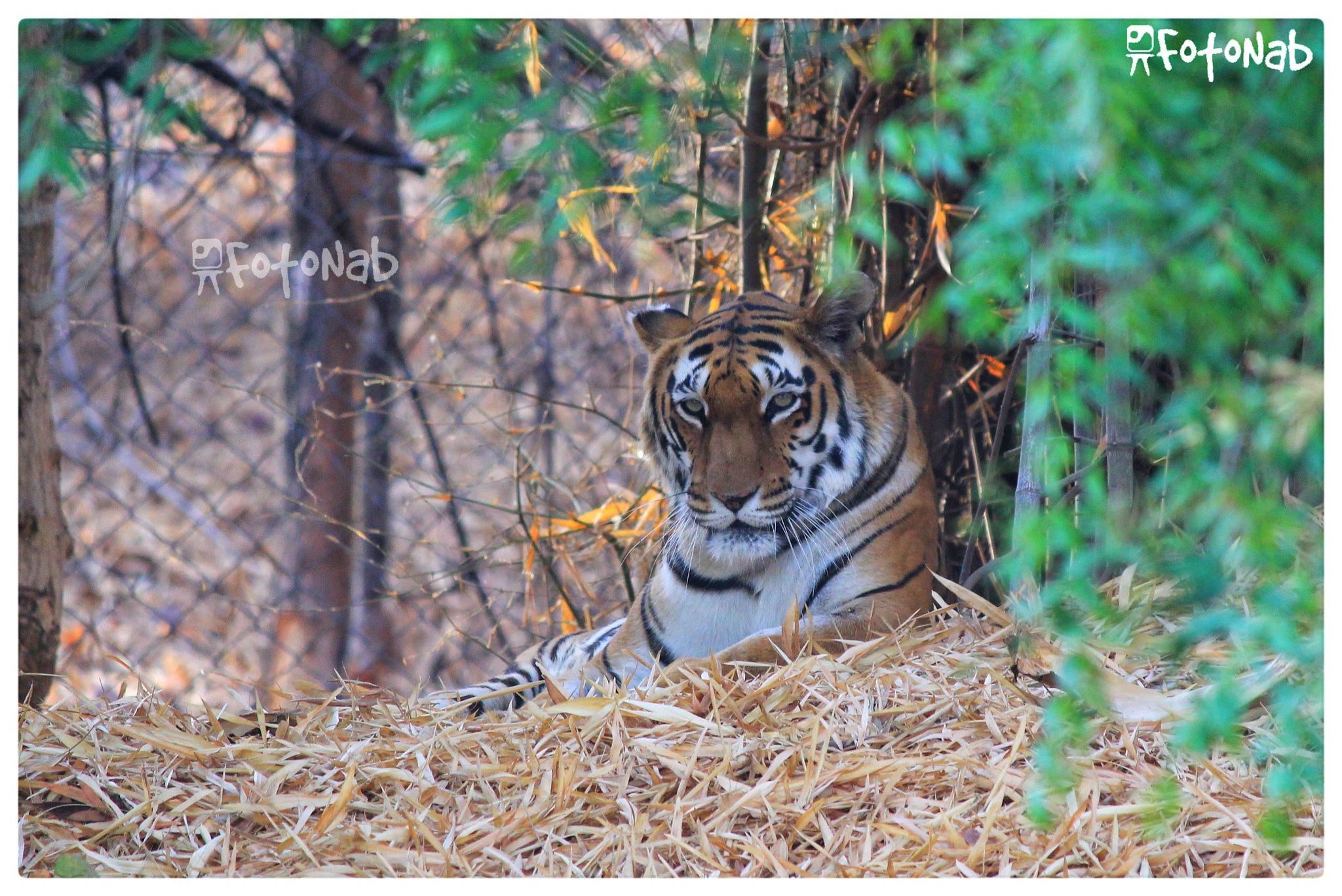 Tiger by Deepesh Jain