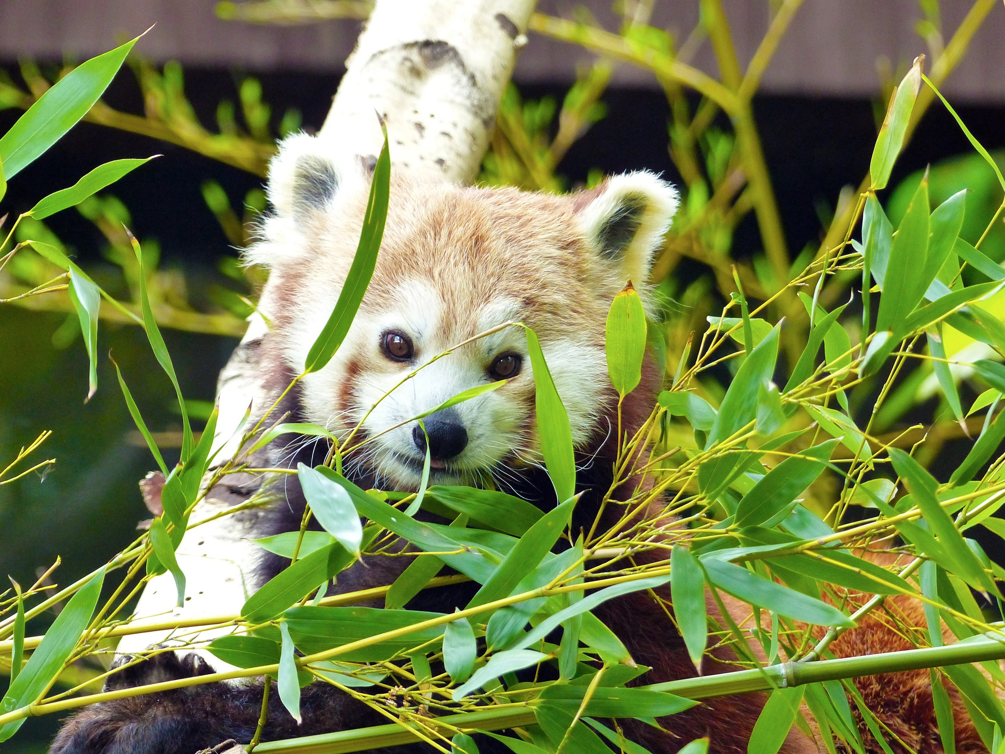 Red panda by Lilla Ondok