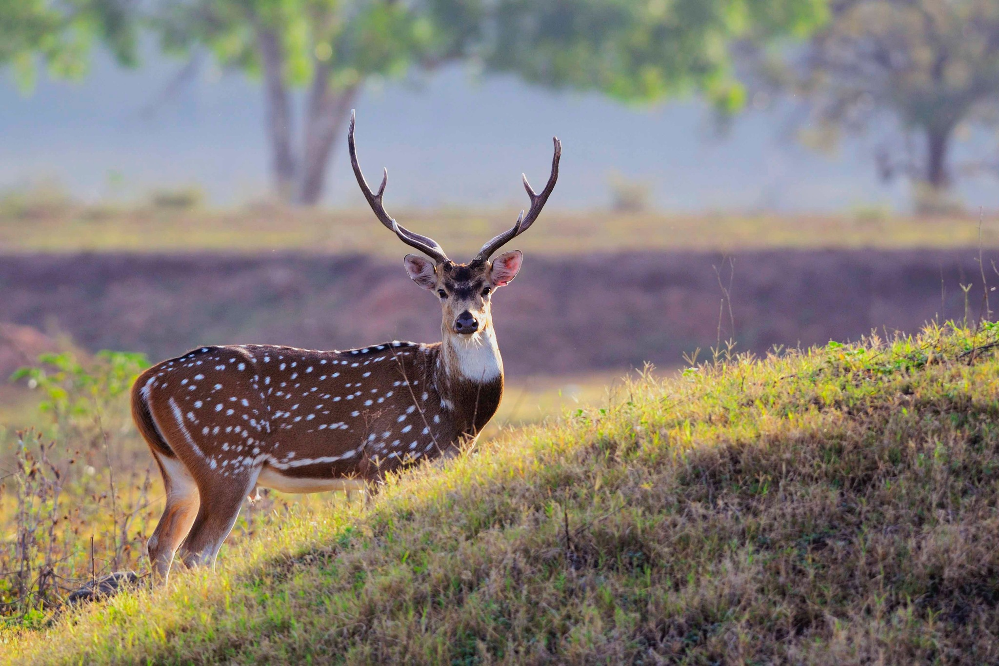 Spotted Deer, Pench, India by Tushar Shinde