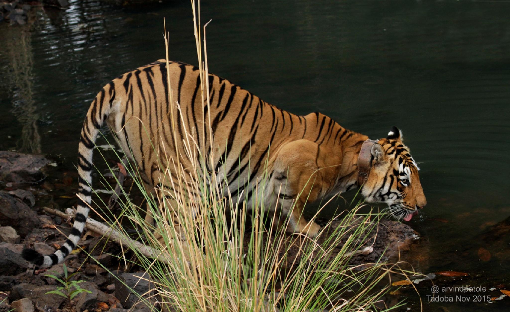 Tger, Wildlife, Tadoba,  by arvindpatole