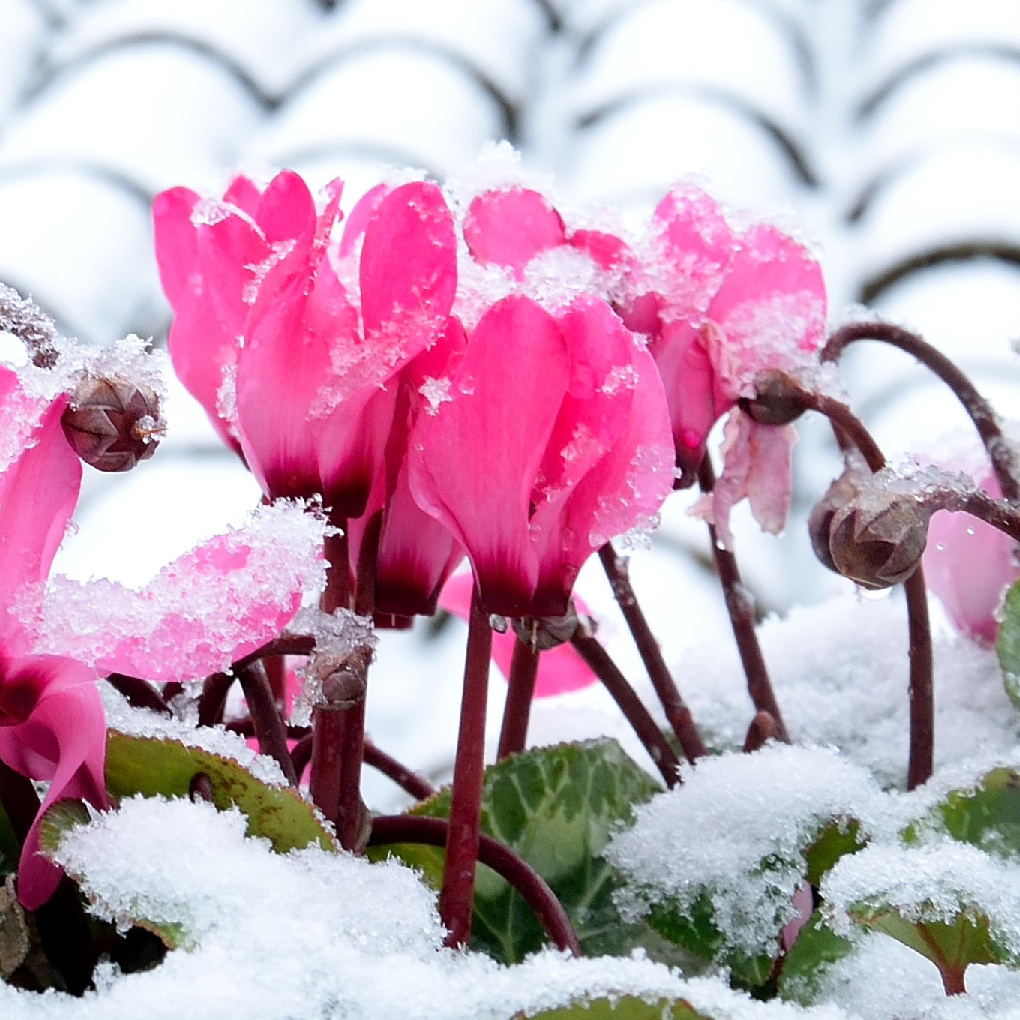 Cyclamen under the snow by Donna Corbett