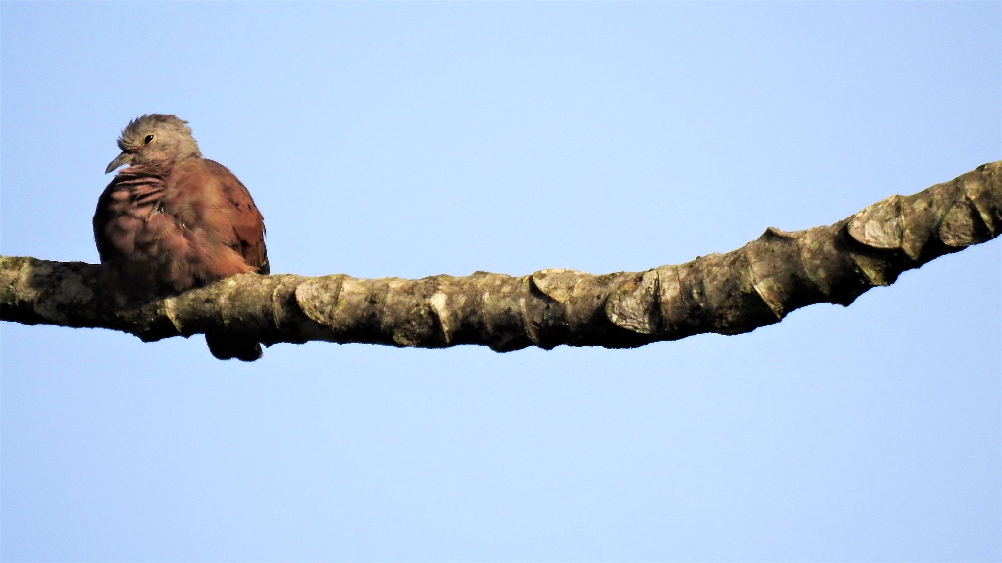 Small kind of wild pigeon by Enéias Carvalho