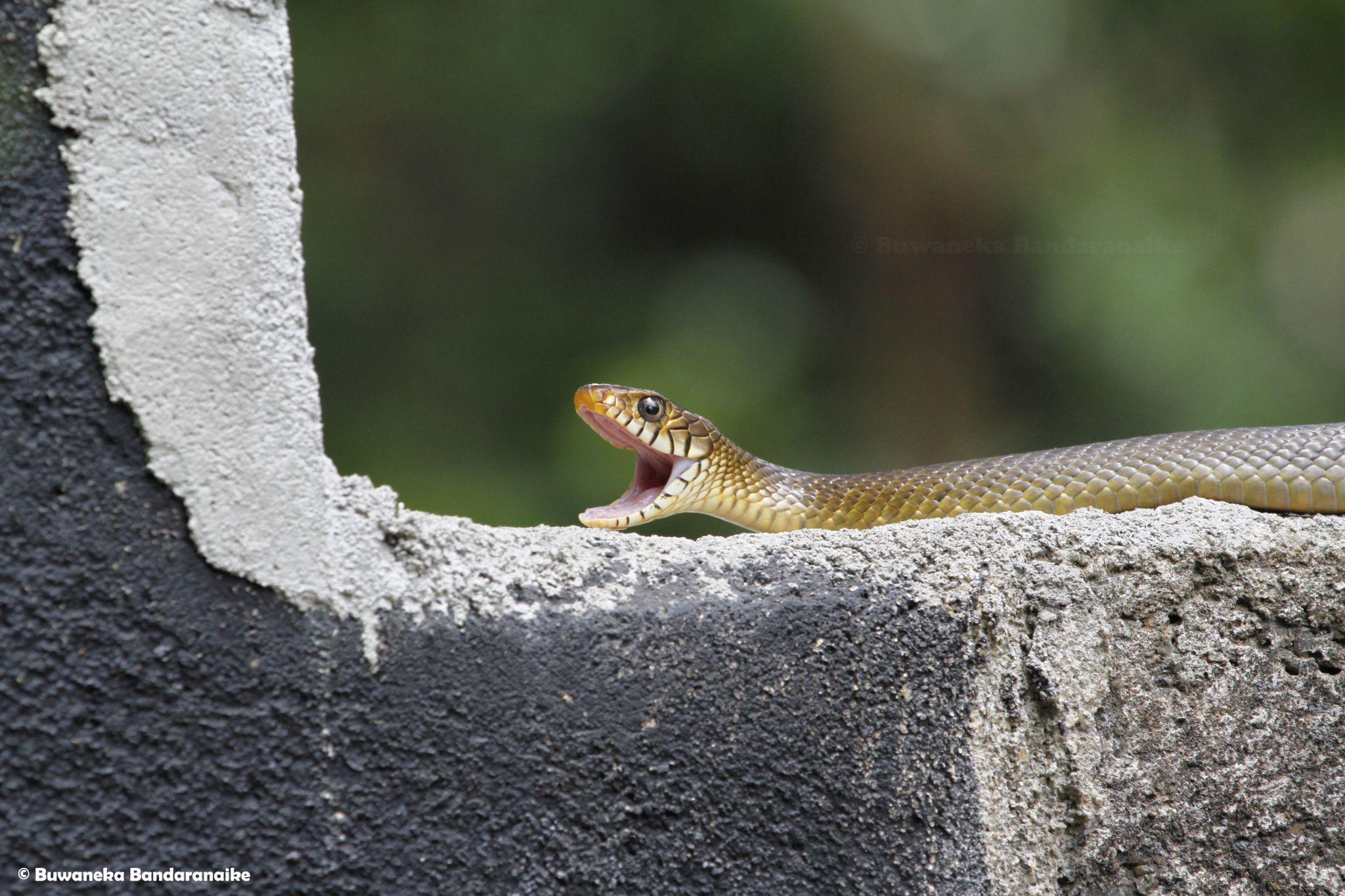 Snake! by Buwaneka Bandaranaike
