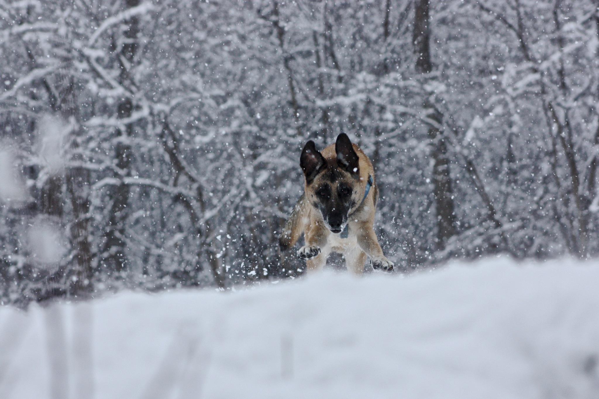 Photo in Animal #dog #snow #dog in snow #nature #snowy landscape #wild