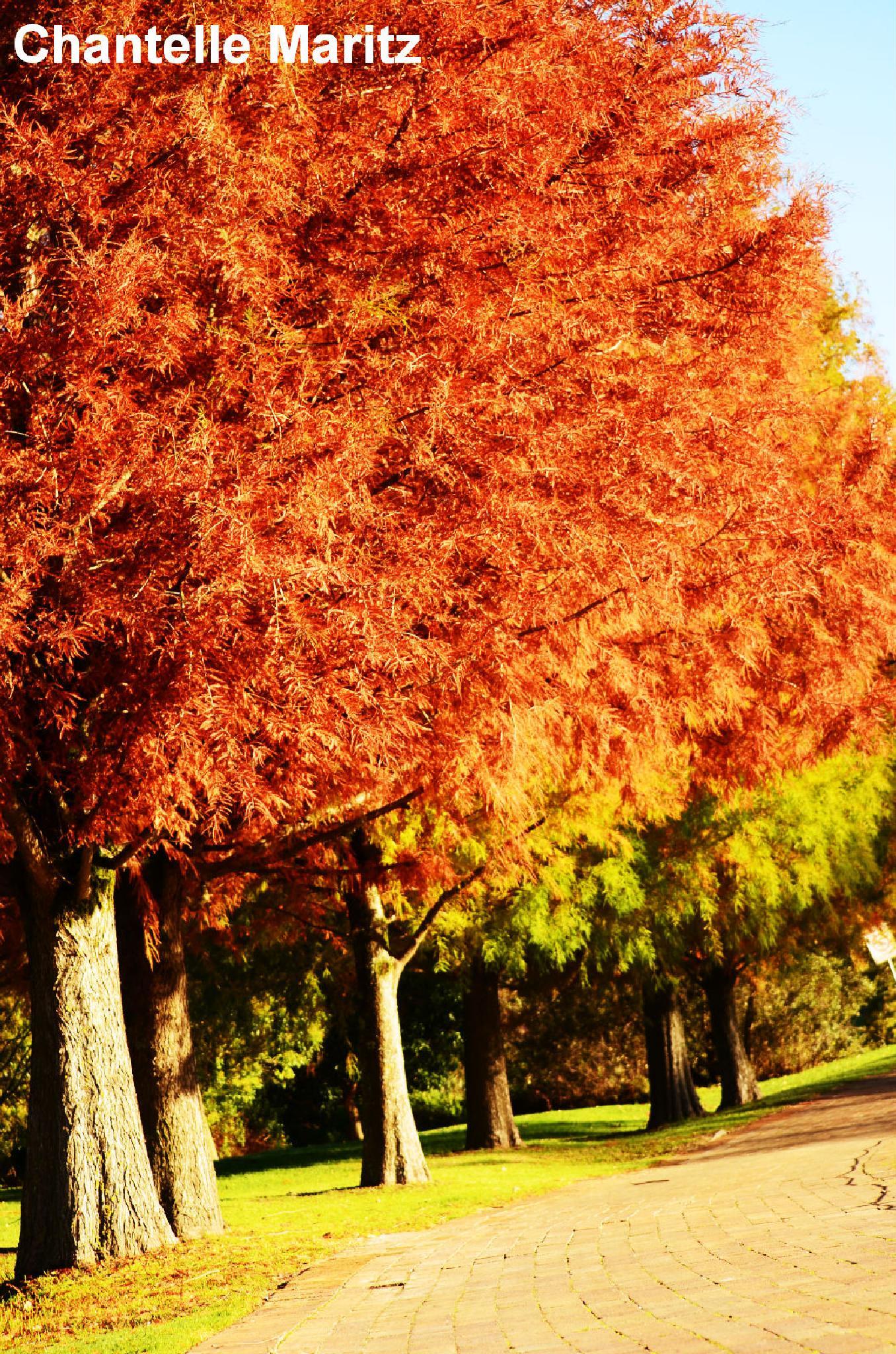 Orange trees. by Chantelle Maritz