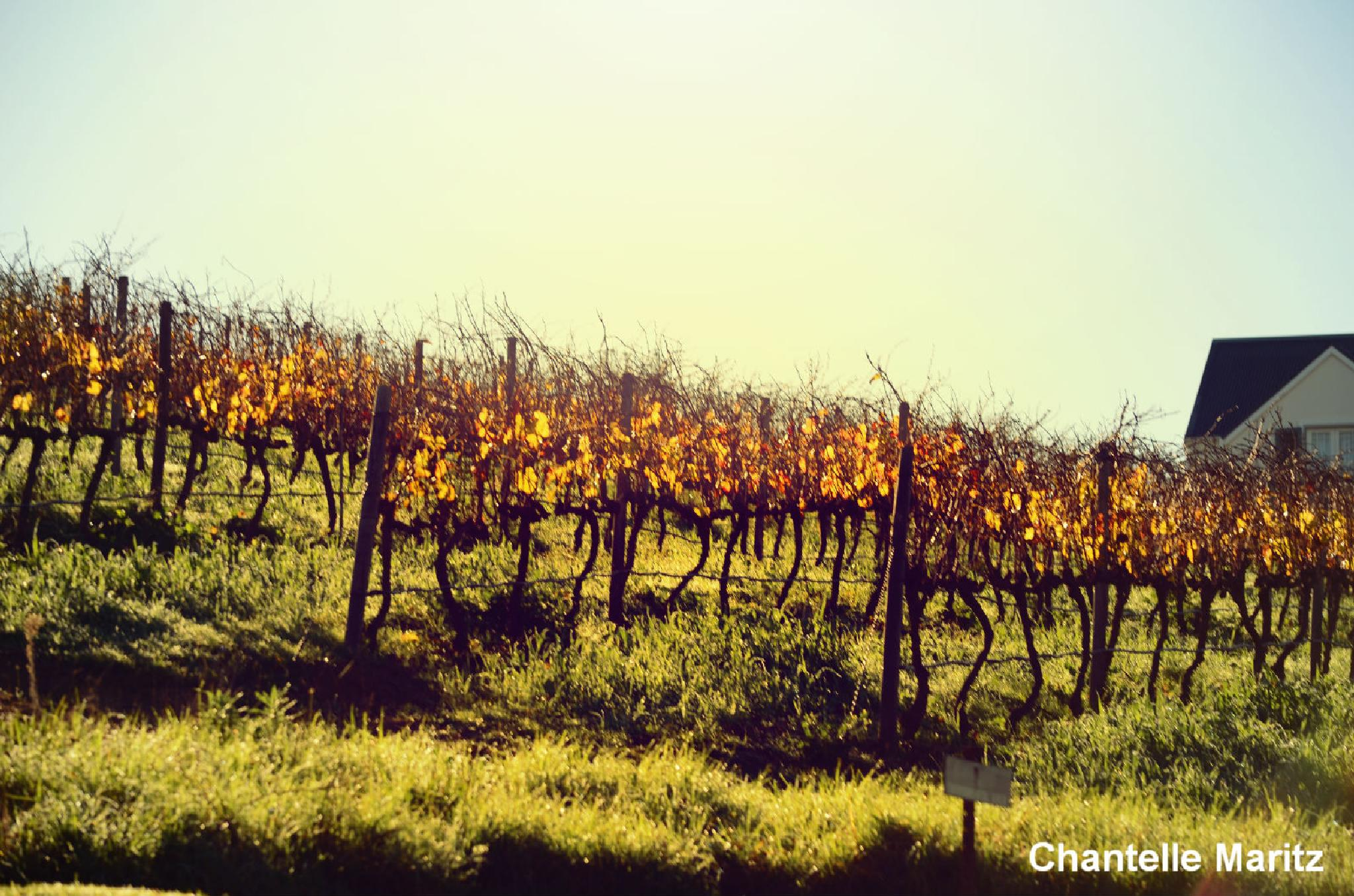 The vineyards. by Chantelle Maritz