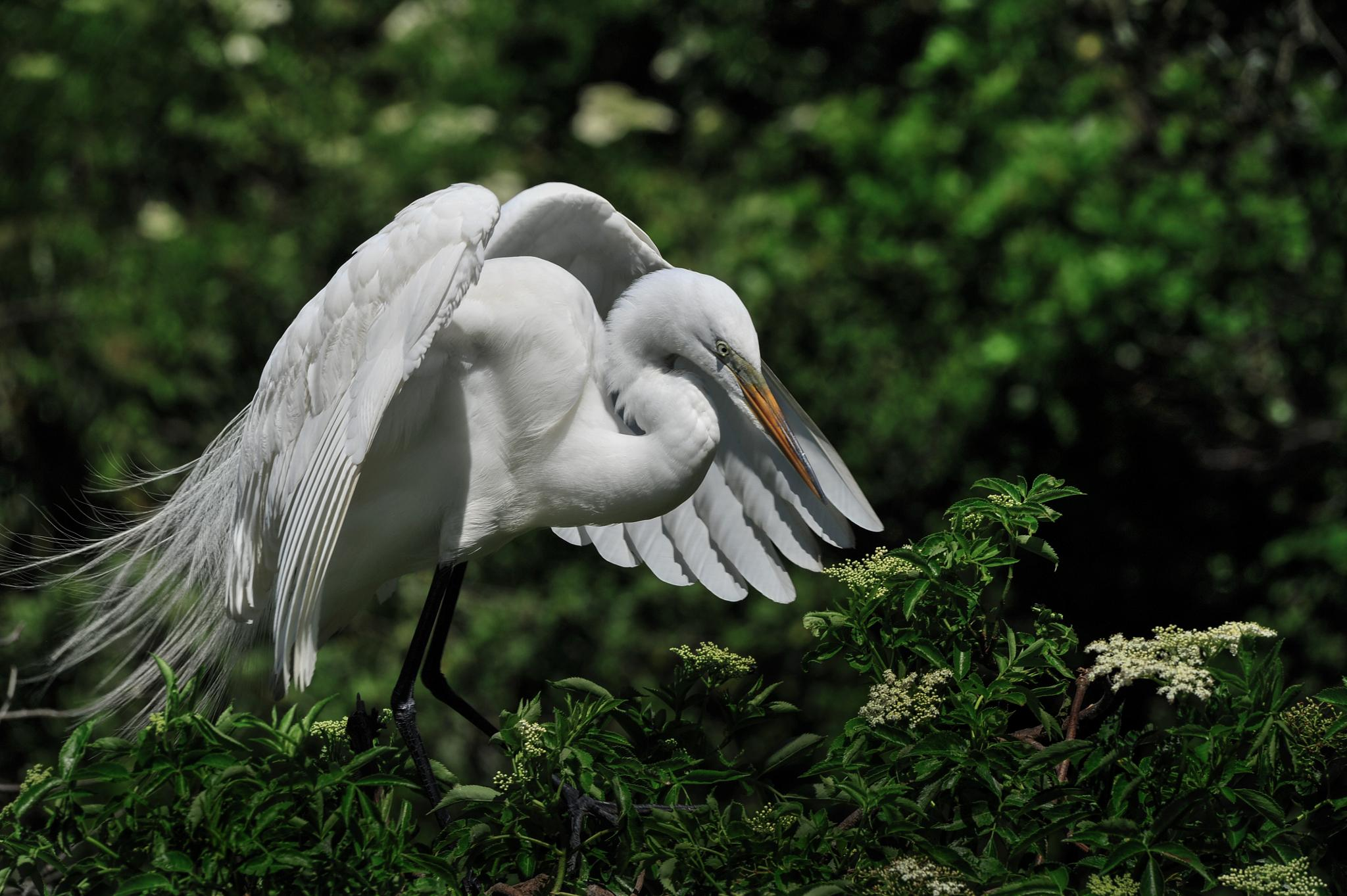 An egret settling in on the nest! by Cyril1