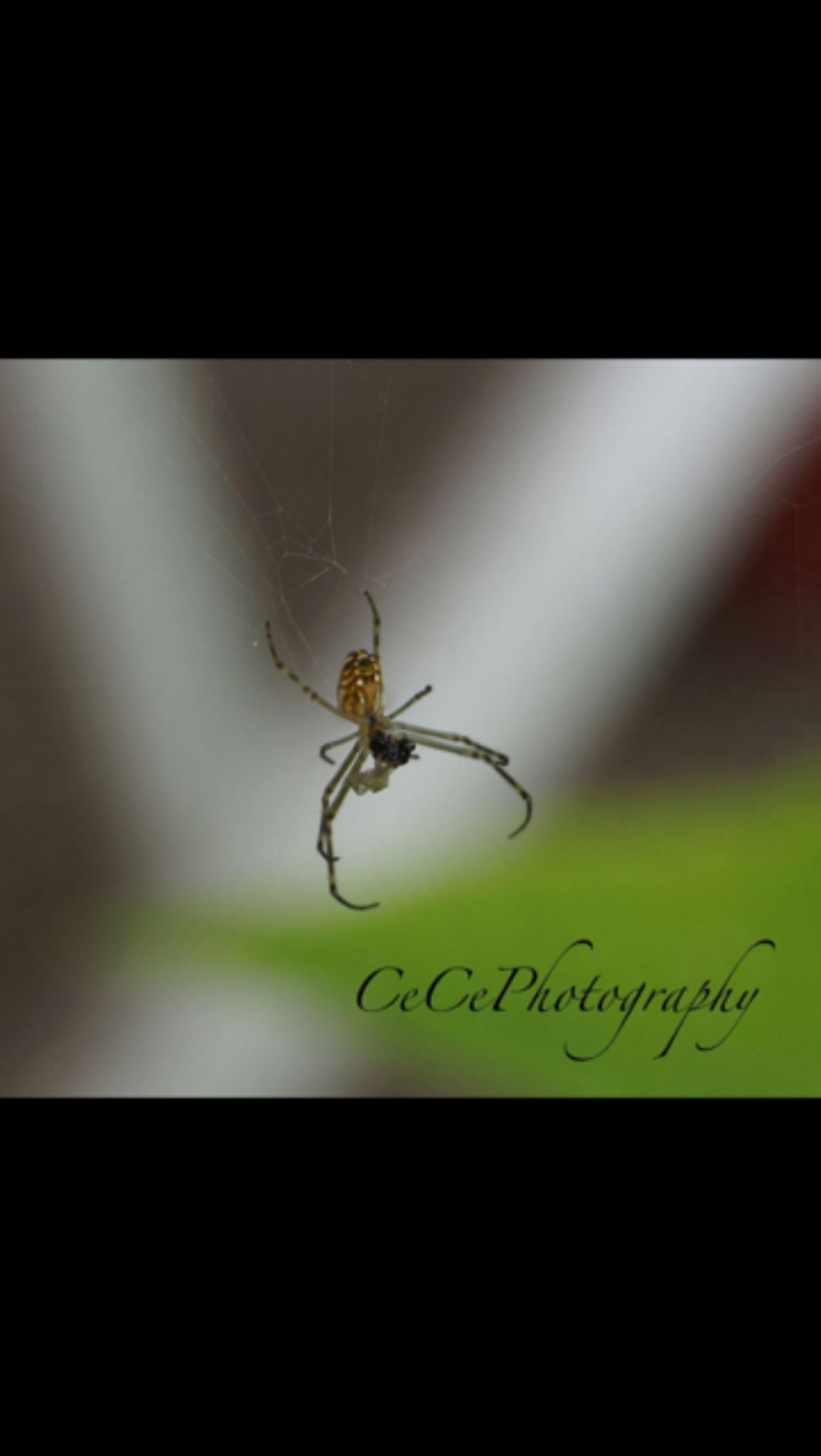 Spider by ccseddon