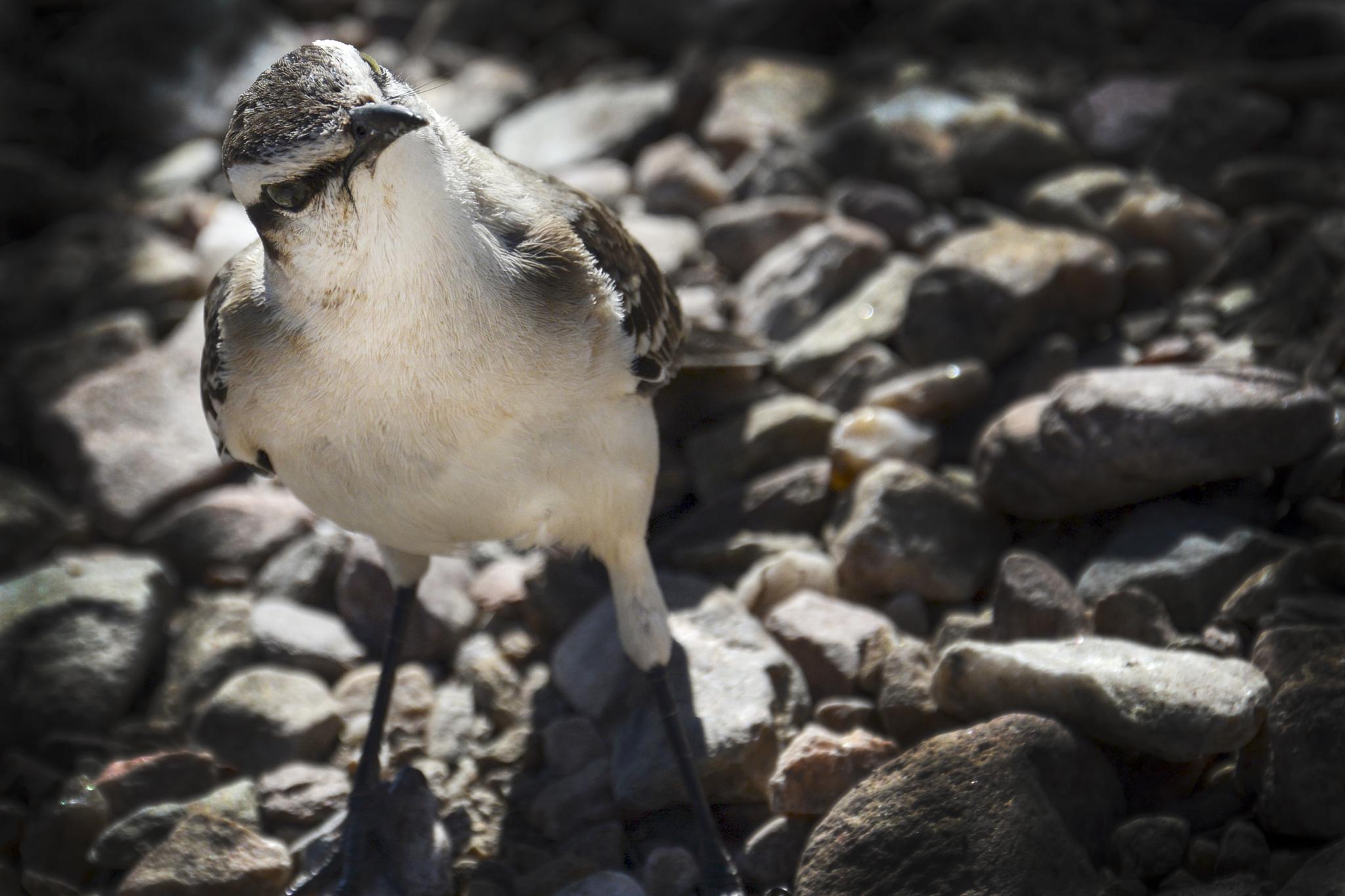 Curious little bird (gorrión argentino) by Diana Moreno