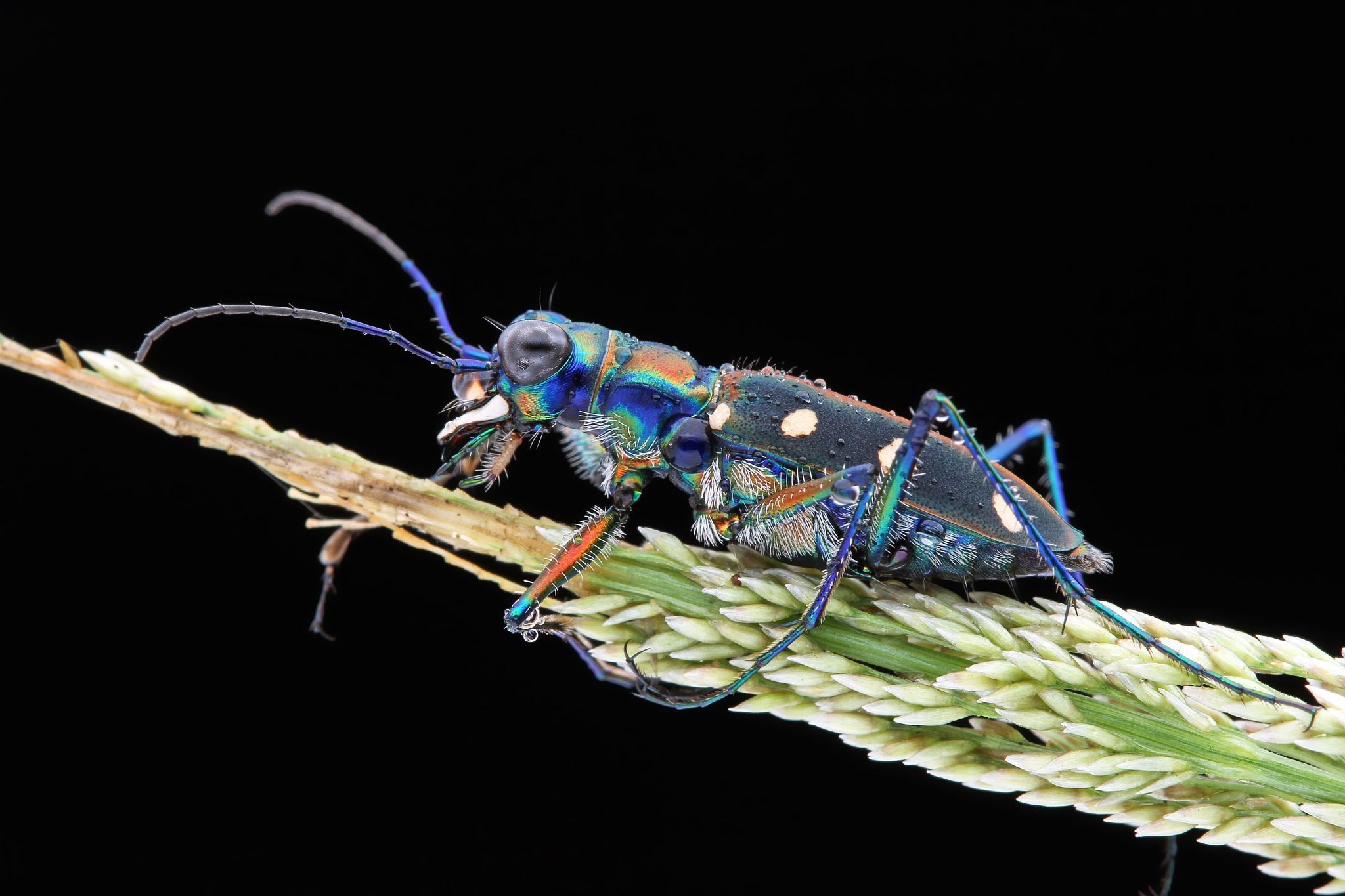Tiger beetle by Hermanokin