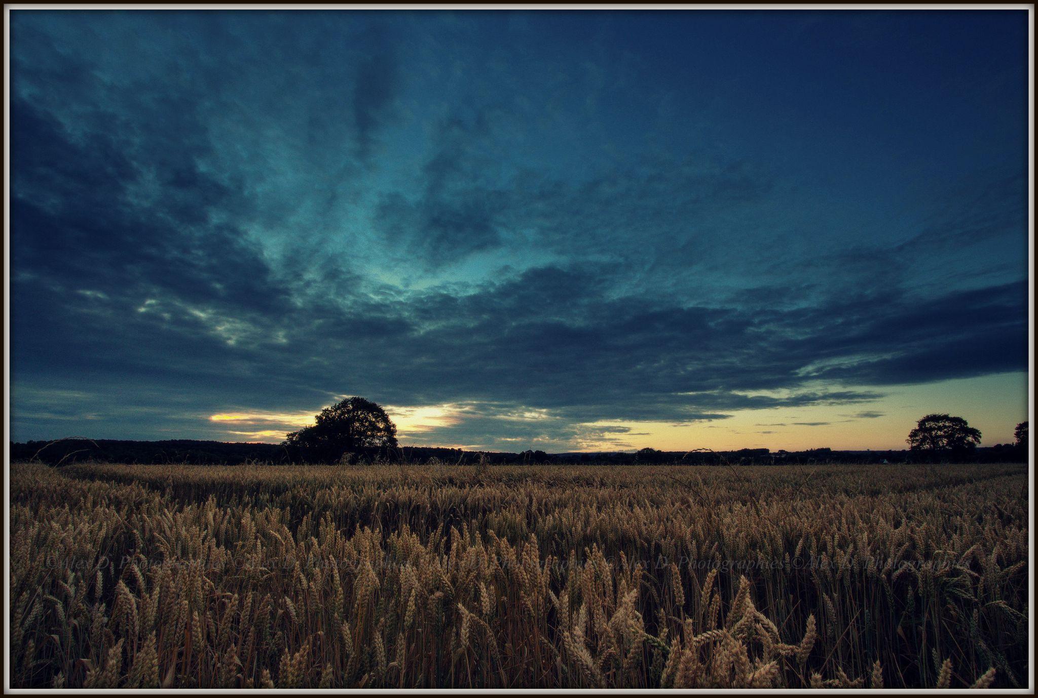 """""""Couchant dans le blé"""" by alexdphotographies56"""