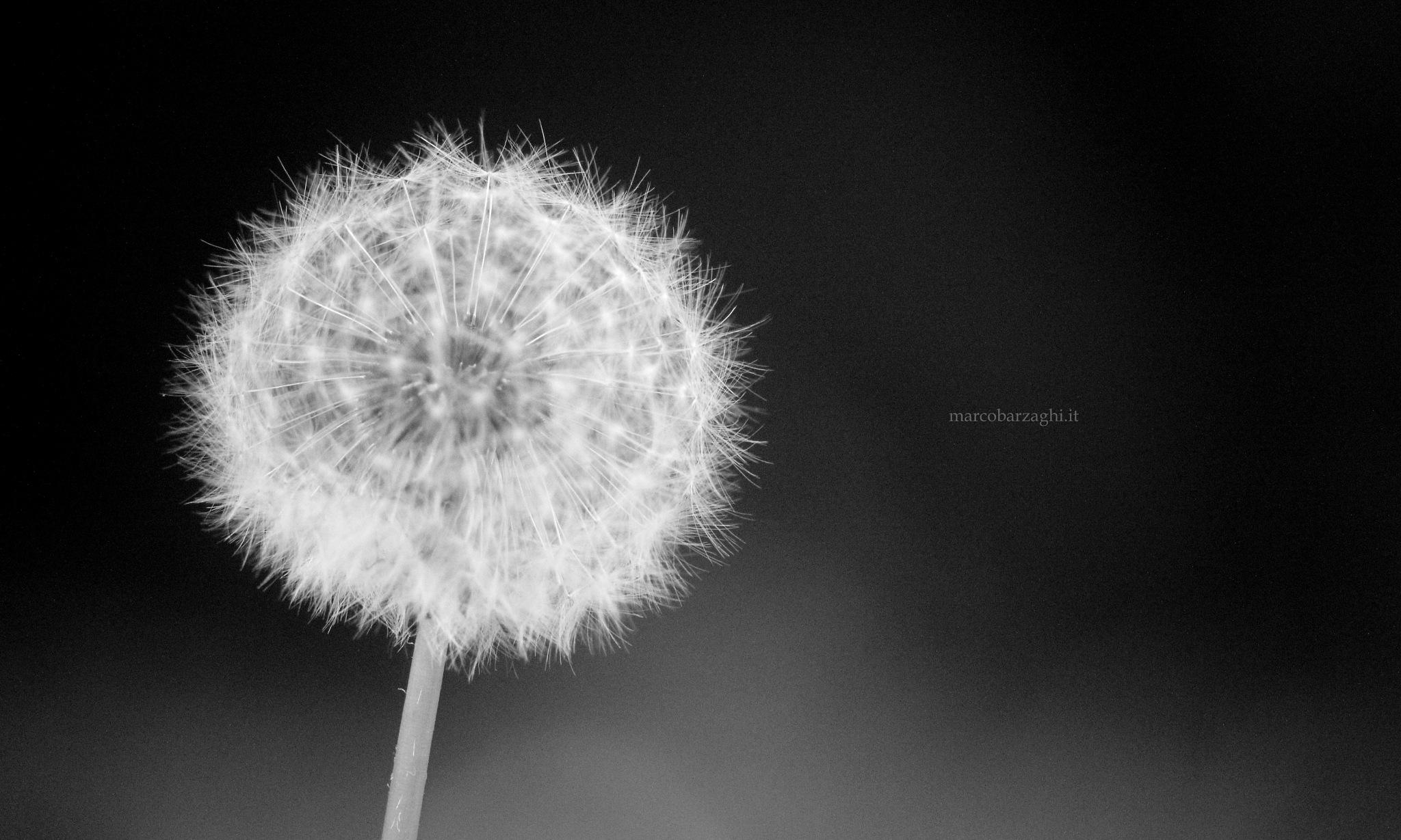 Garden - Dandelion (b/w) by Marco Barzaghi
