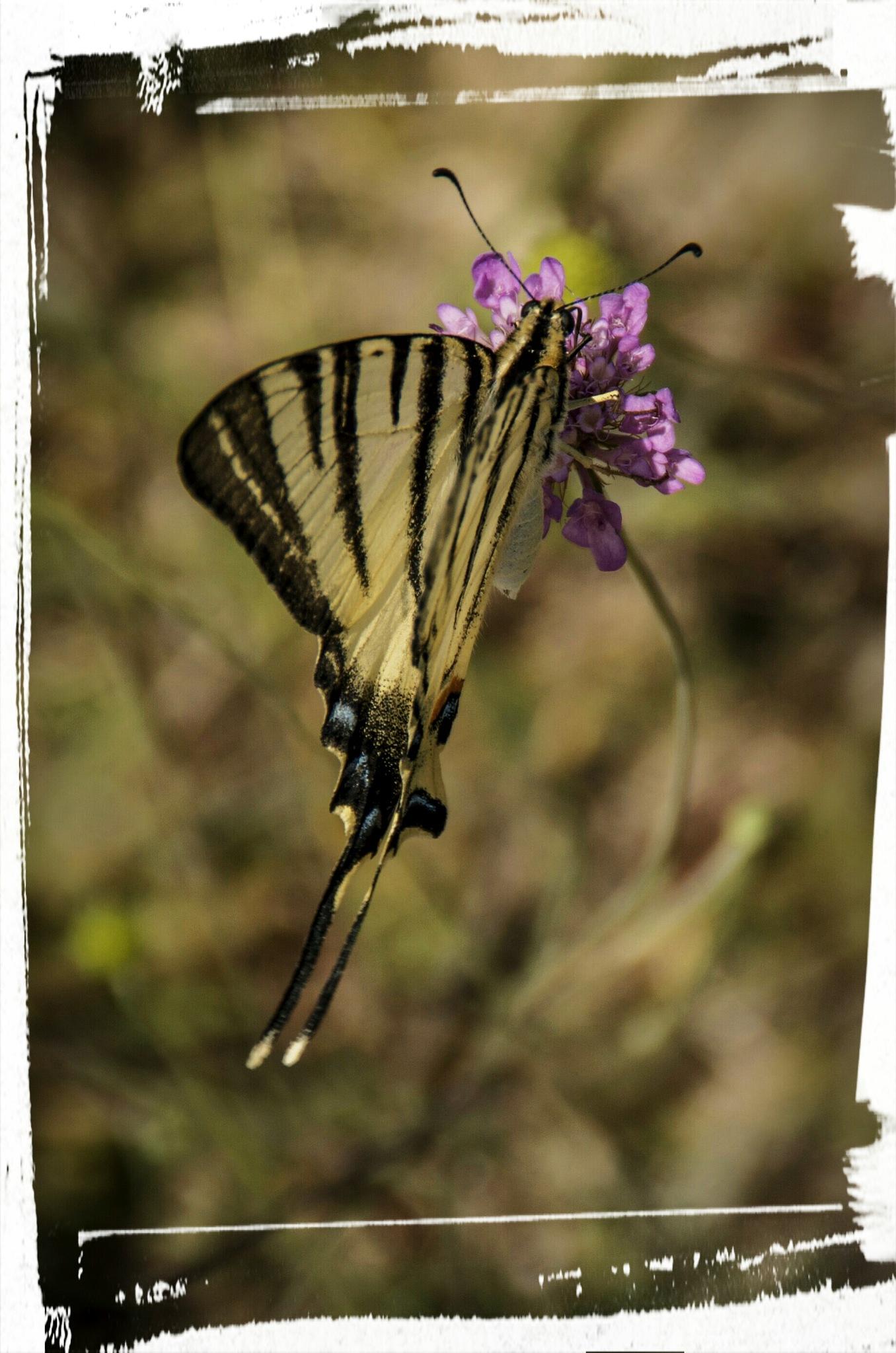 Farfalla  by GP68