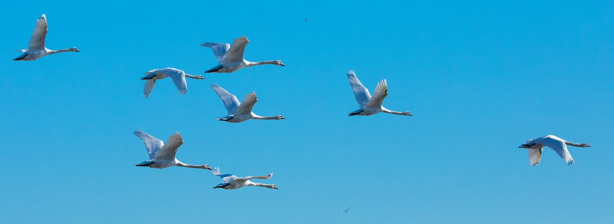 Mute swan gathering by John Barnard