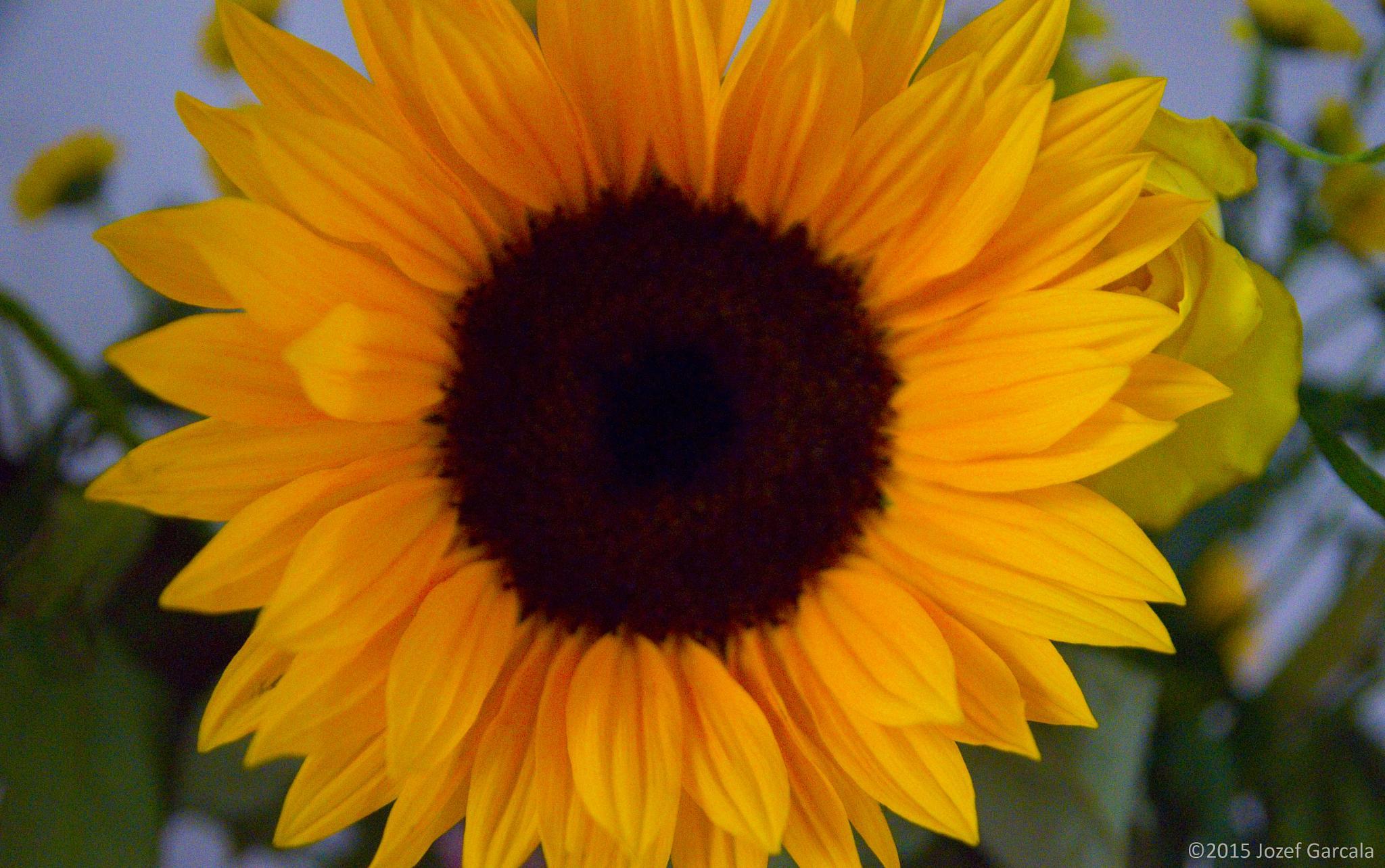 Sunflower by jozef