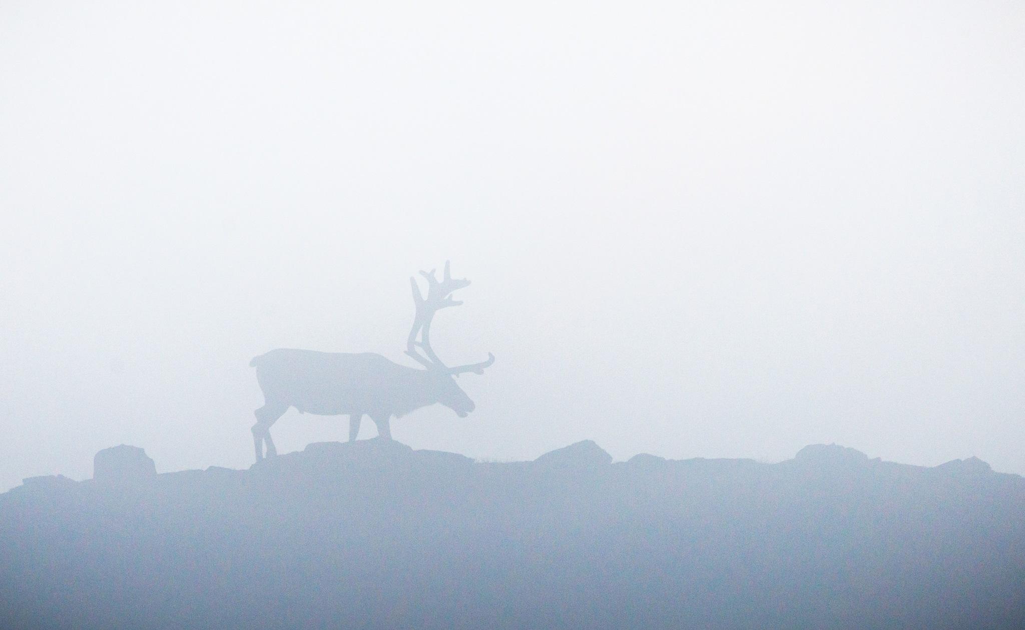 Reindeer - fog by E Pedersen