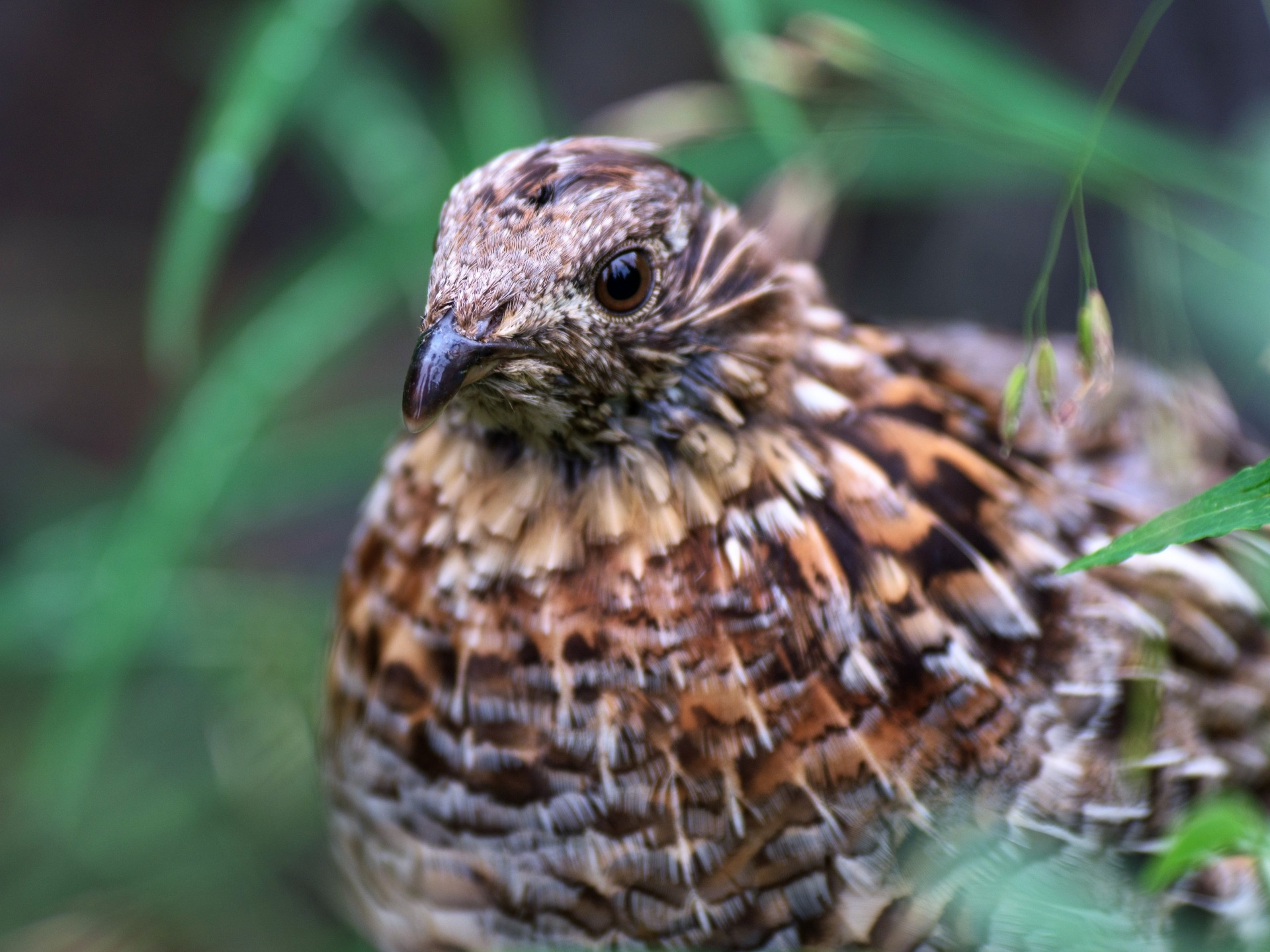 Hazel grouse by E Pedersen