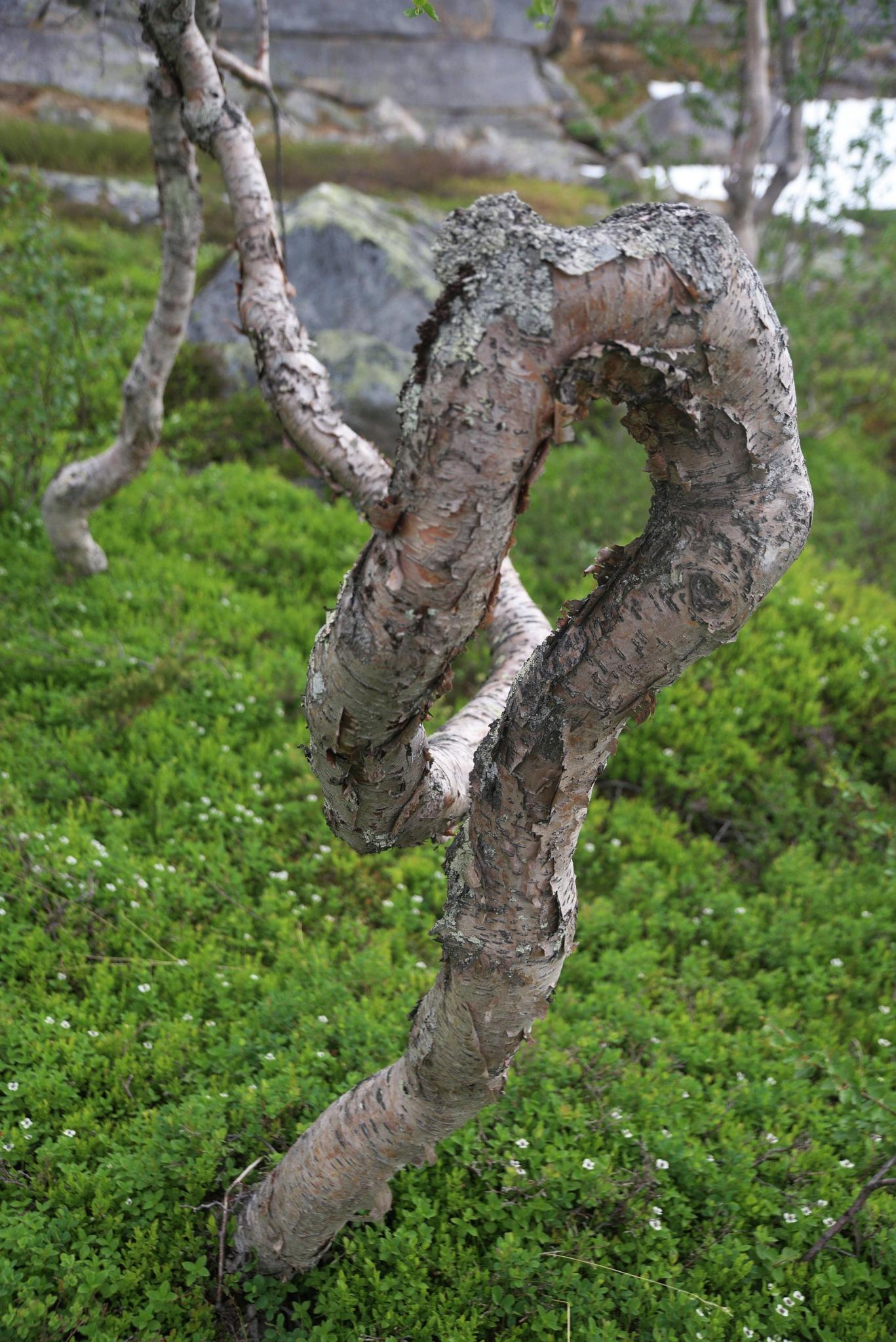 Birch by E Pedersen