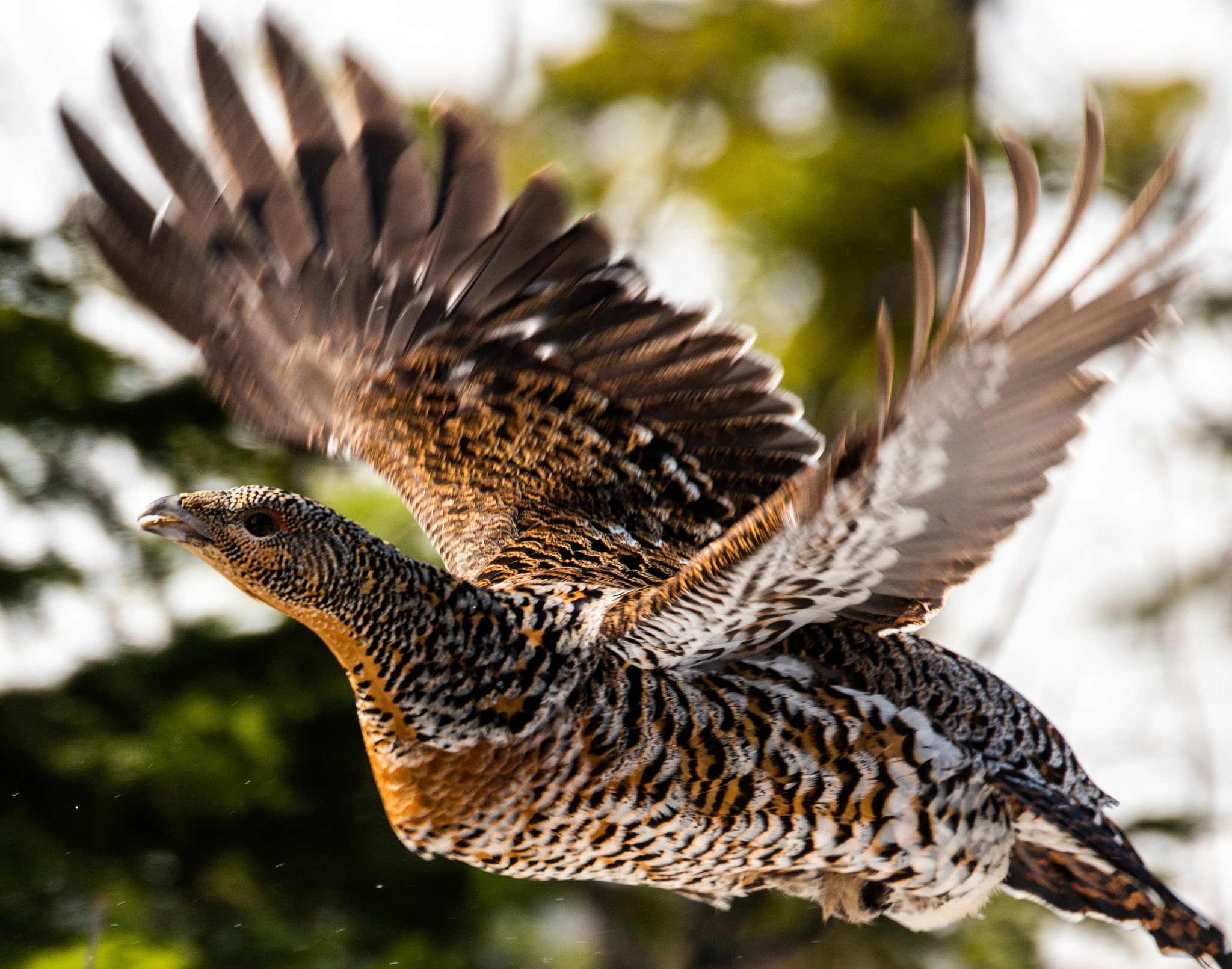 Flying capercaillie by E Pedersen
