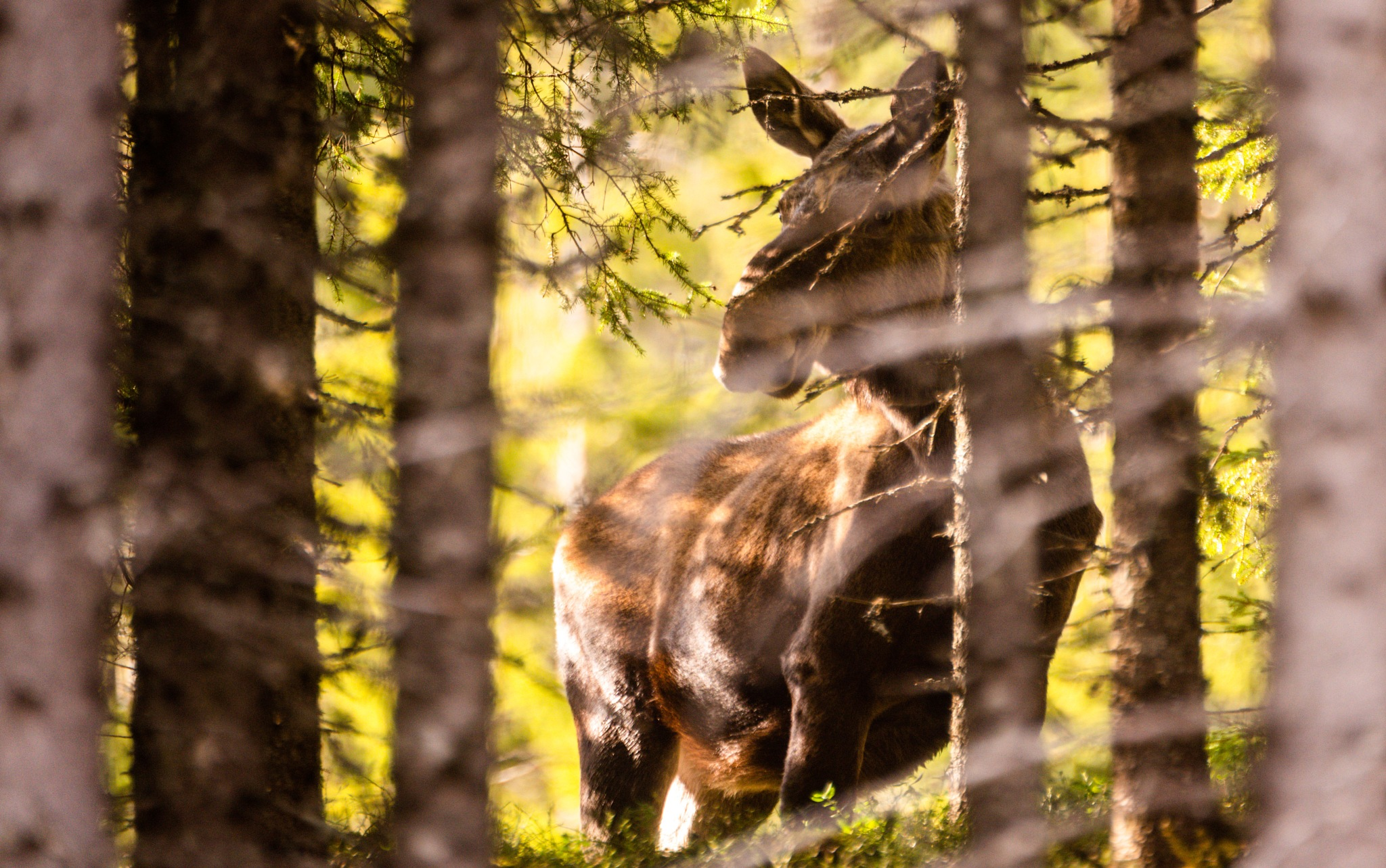 A moose in the forest by E Pedersen