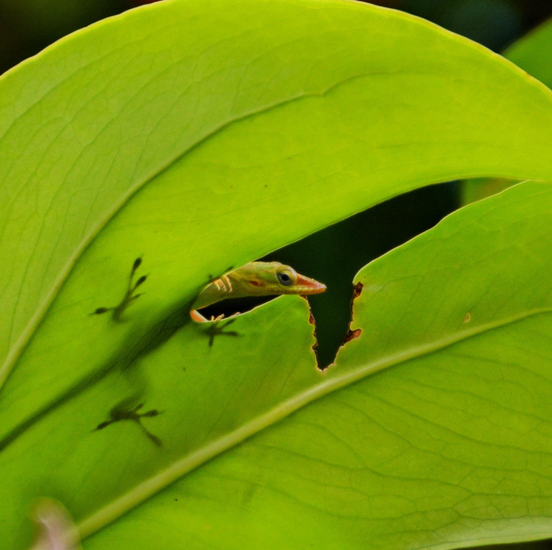 Lizard looking through leaf by Kevin Rausch
