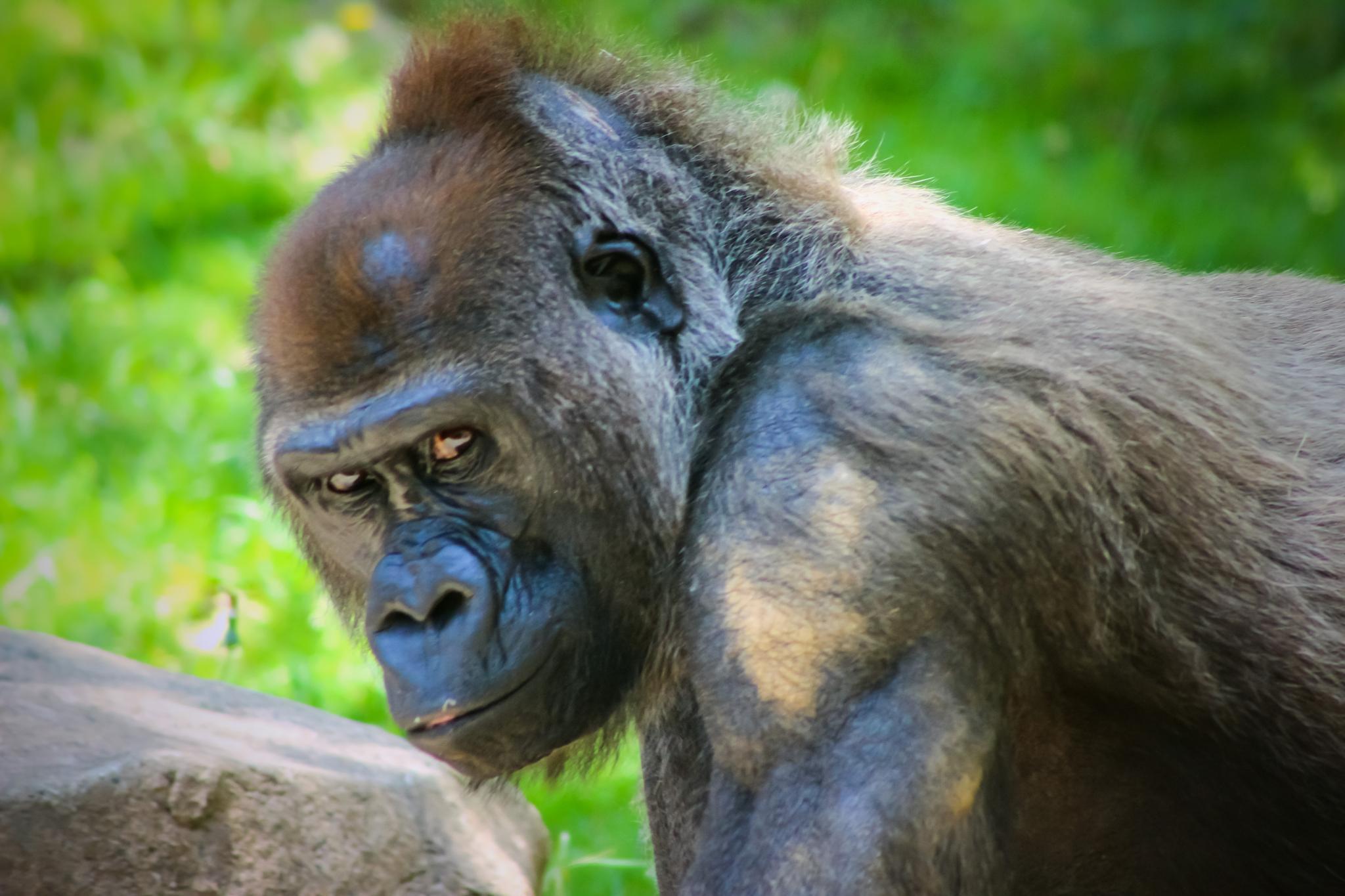 Lowland Gorilla by Curtis Egan