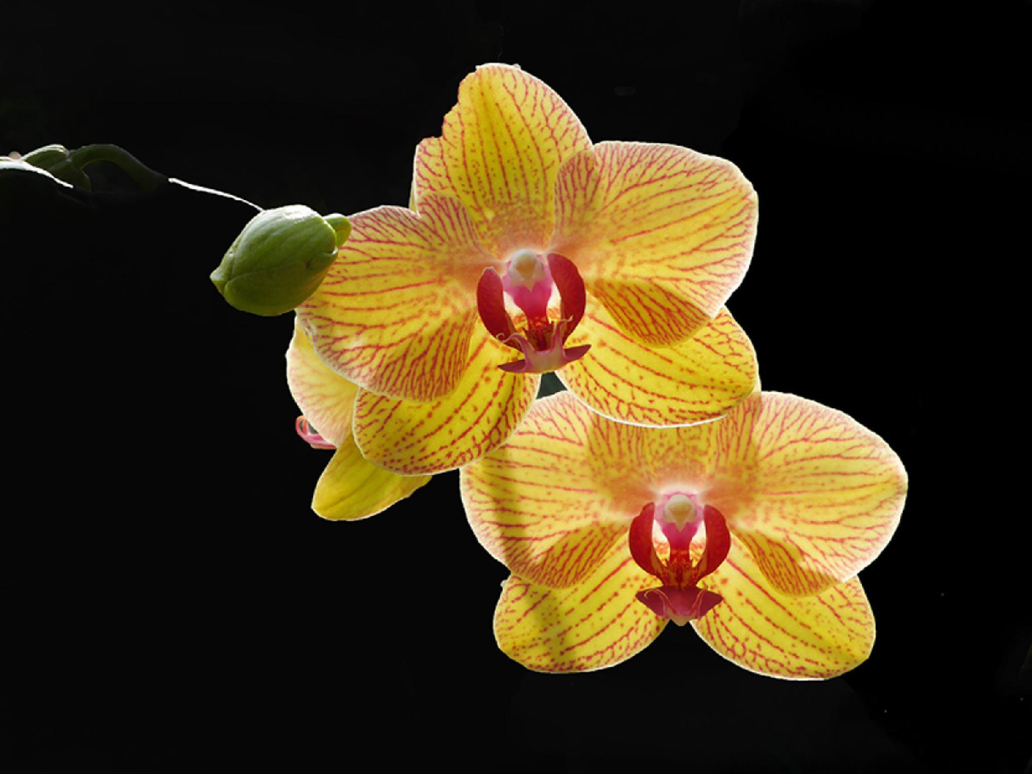 Backlit Orchids by Dennis Rubin