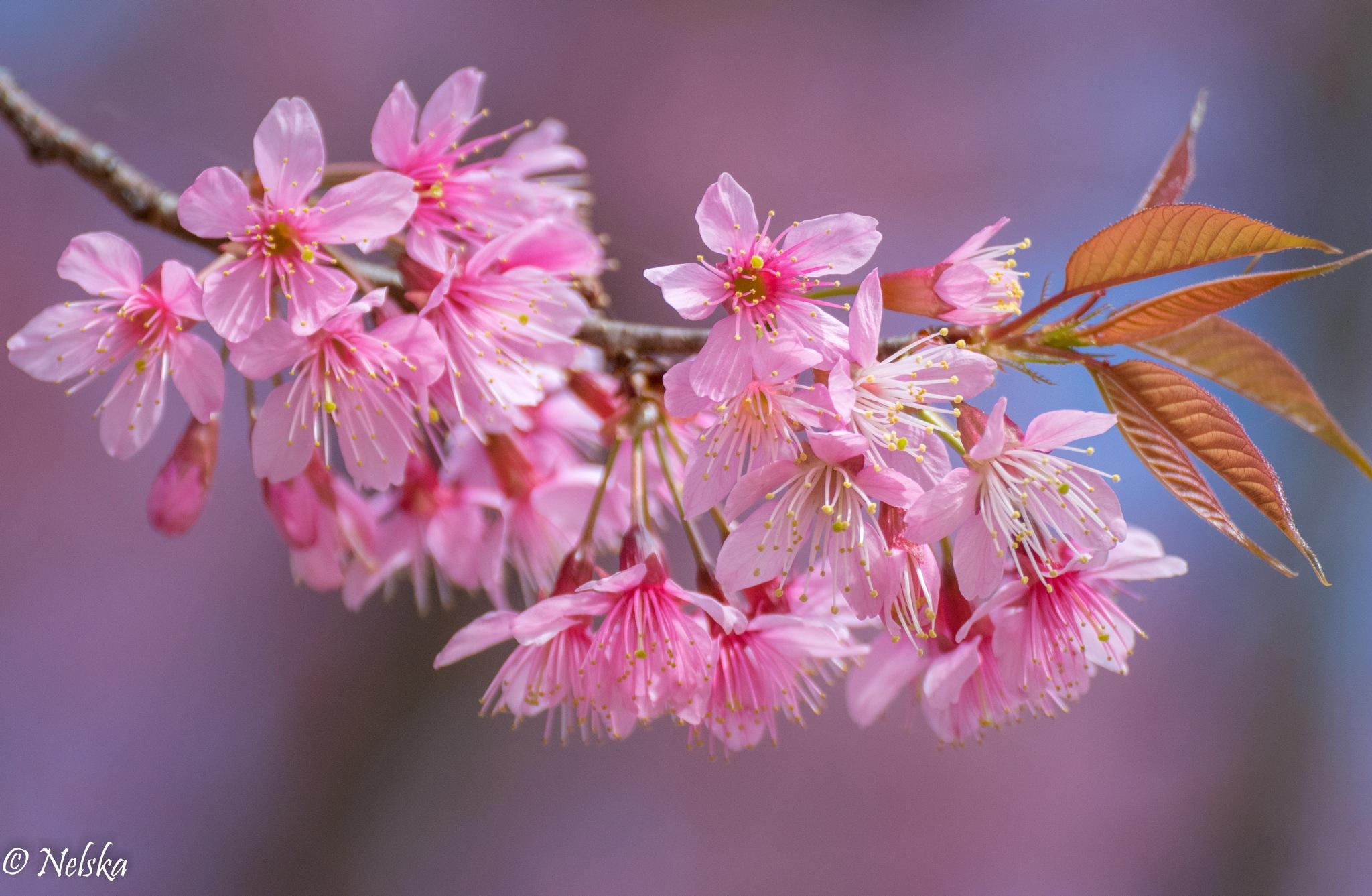 Thaï Sakura time in january ... by Nelska