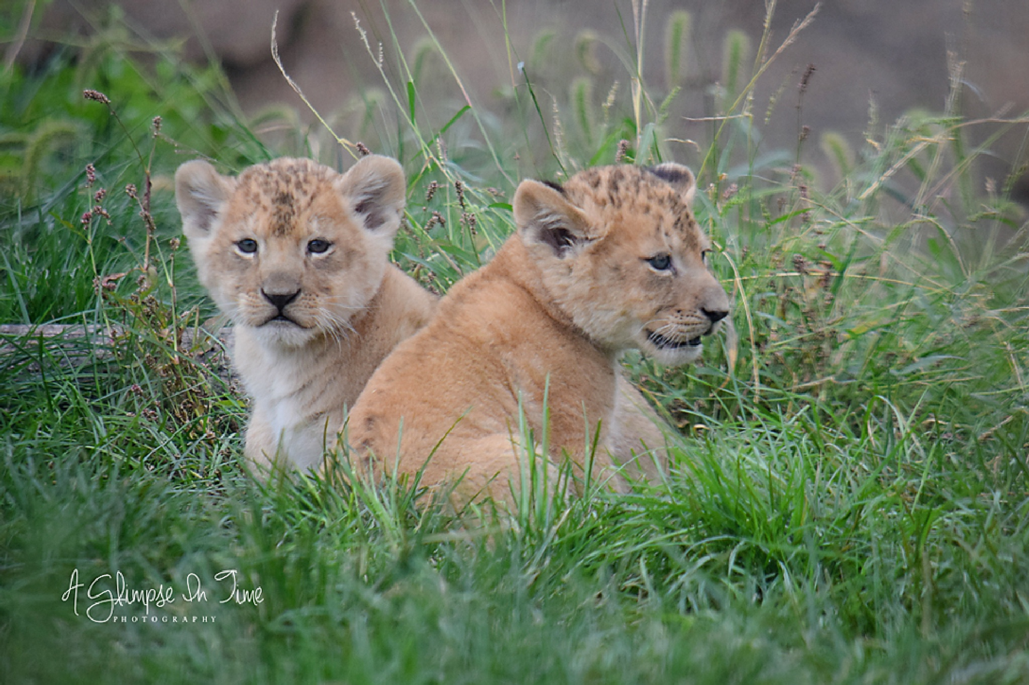 Lion Cubs by Shirley Etheridge Compton