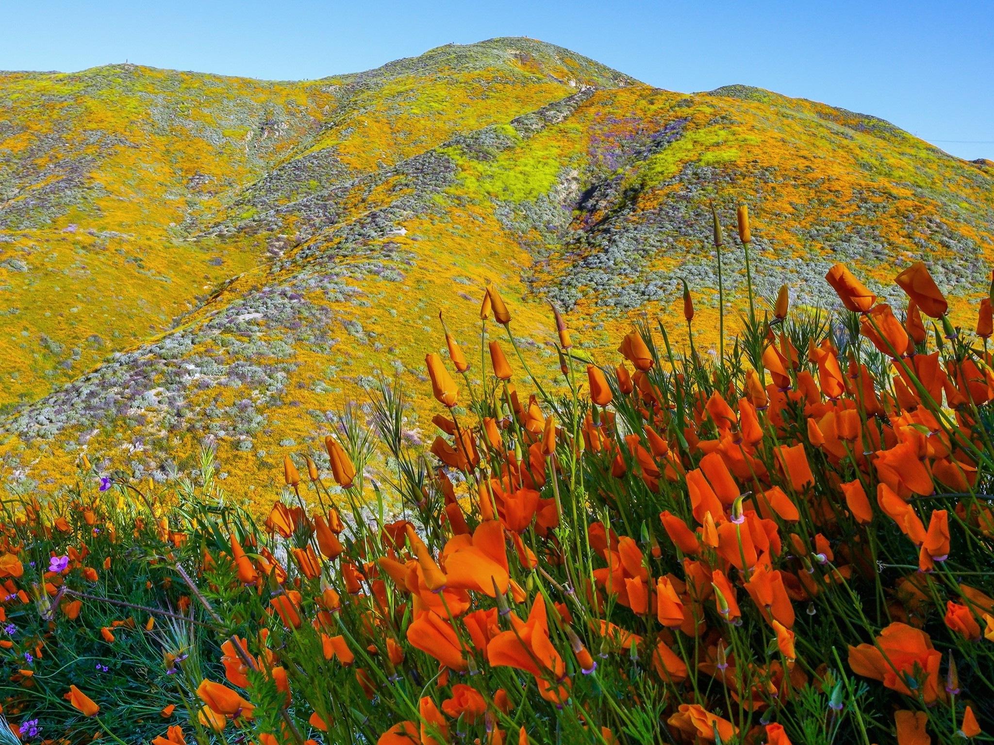 Poppy Super Bloom #5 by 📸  KWAN HAHN