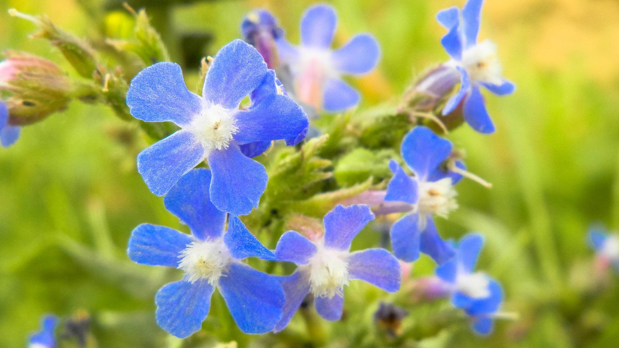 Blue Flower by Mirza N. Islam